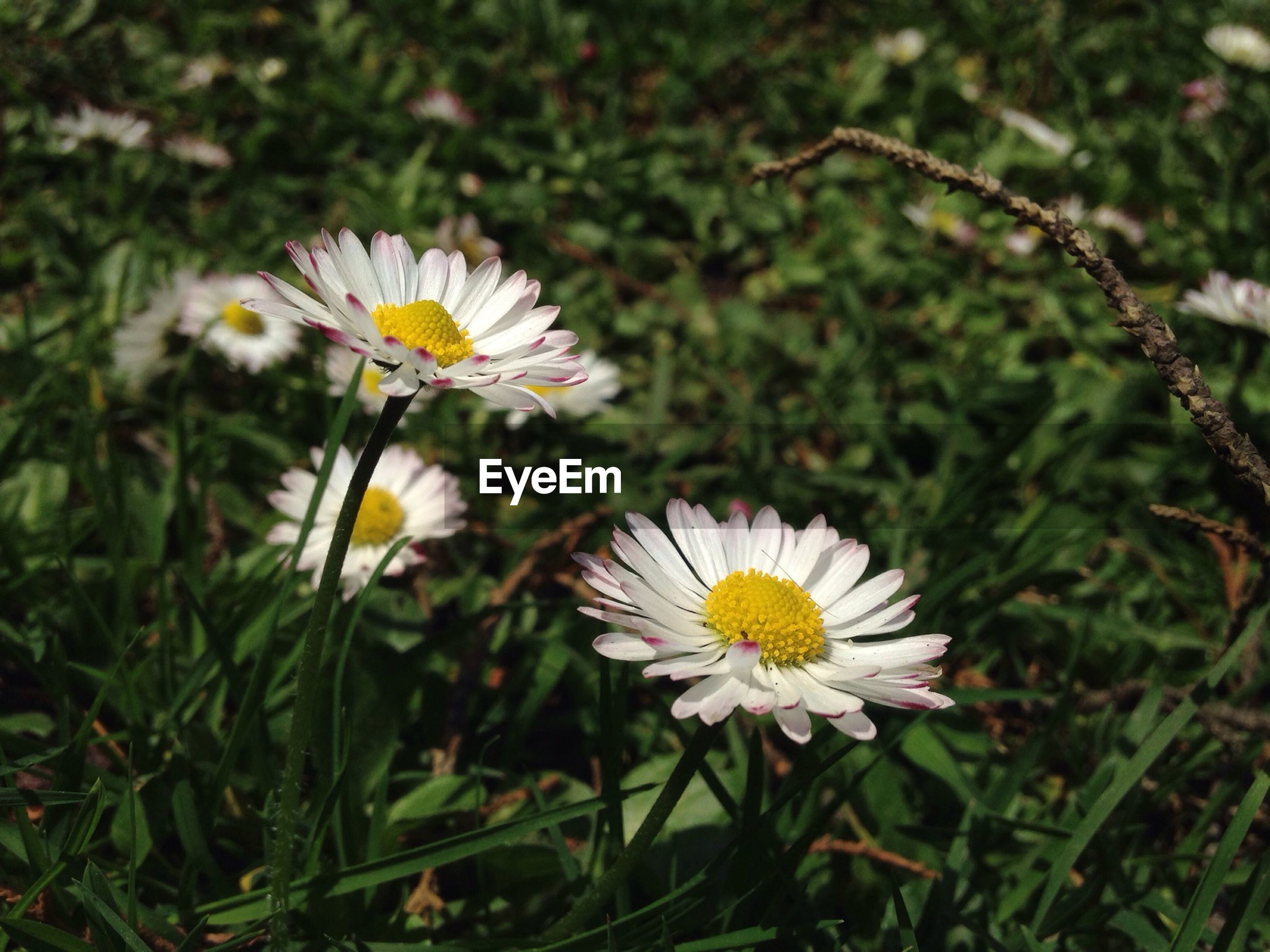 Close-up of daisies blooming in yard