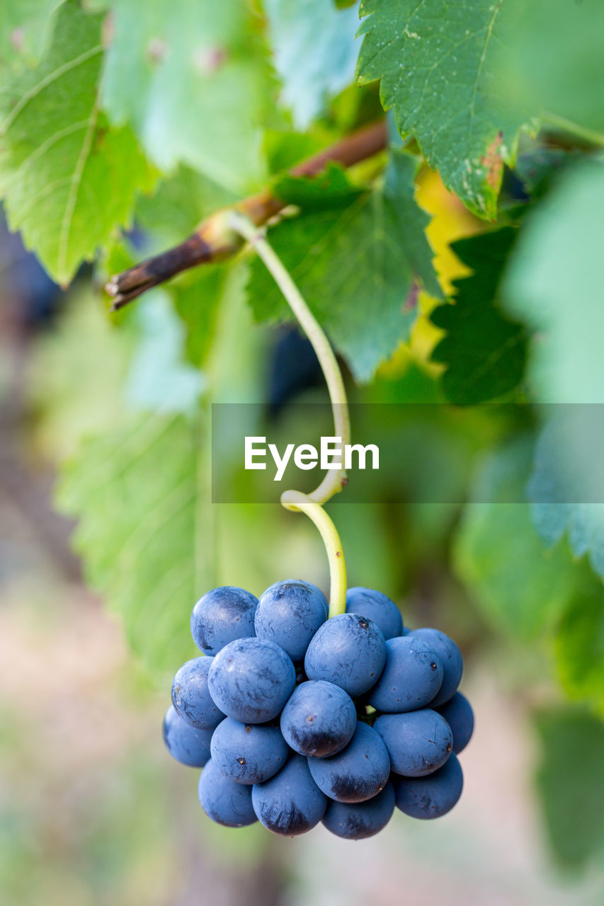 healthy eating, food and drink, fruit, food, growth, plant part, leaf, wellbeing, freshness, plant, nature, focus on foreground, grape, berry fruit, day, agriculture, vineyard, close-up, no people, winemaking, outdoors, ripe