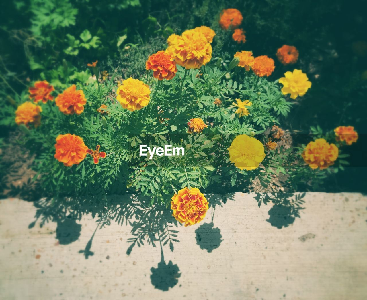 flower, plant, growth, nature, beauty in nature, fragility, freshness, no people, high angle view, petal, marigold, day, flower head, yellow, close-up, outdoors, blooming