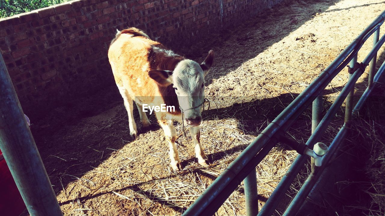 animal themes, mammal, domestic animals, sunlight, day, hay, young animal, livestock, no people, outdoors, nature