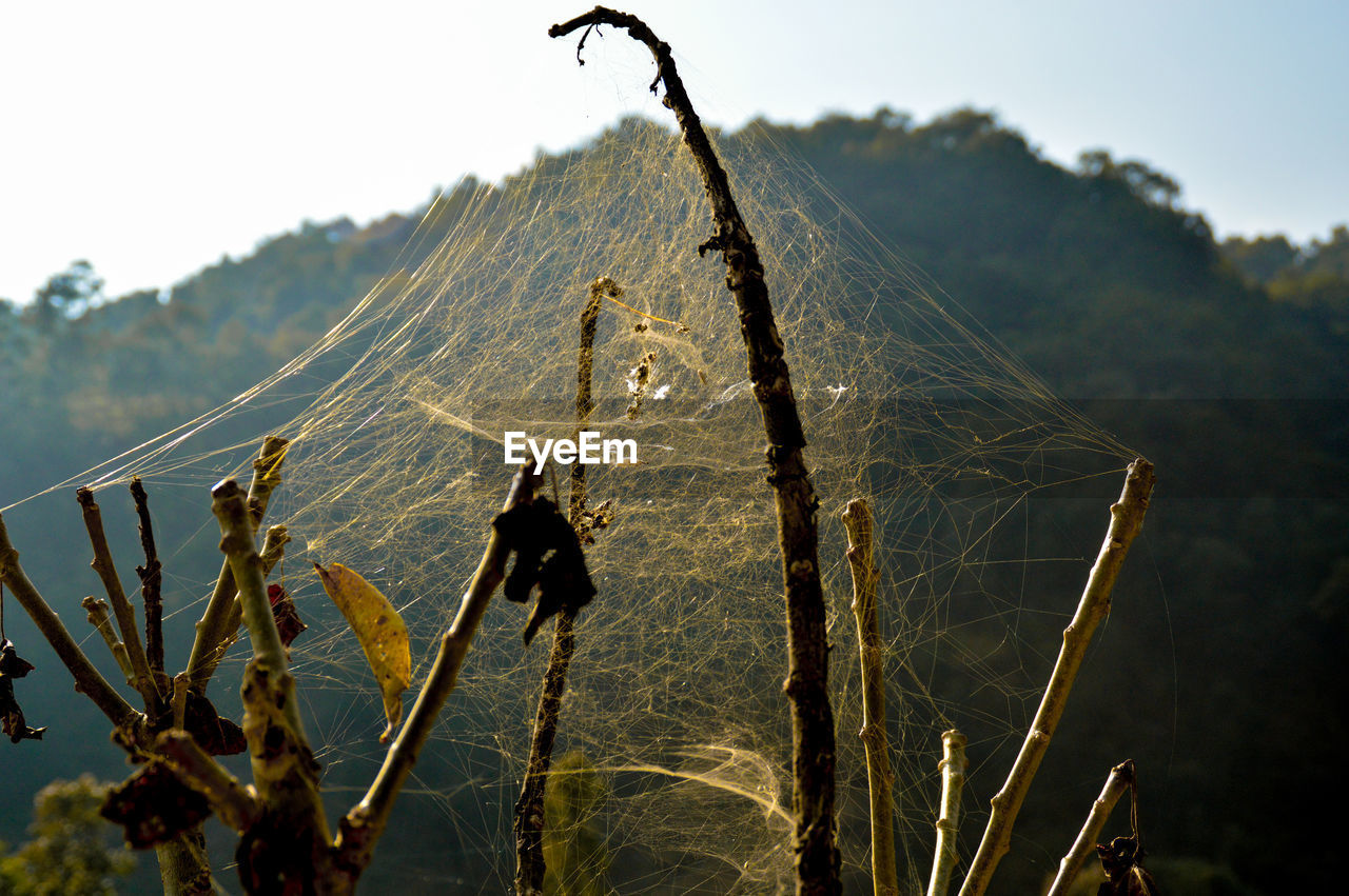 spider web, nature, no people, day, outdoors, focus on foreground, growth, animal themes, low angle view, beauty in nature, animals in the wild, close-up, sky