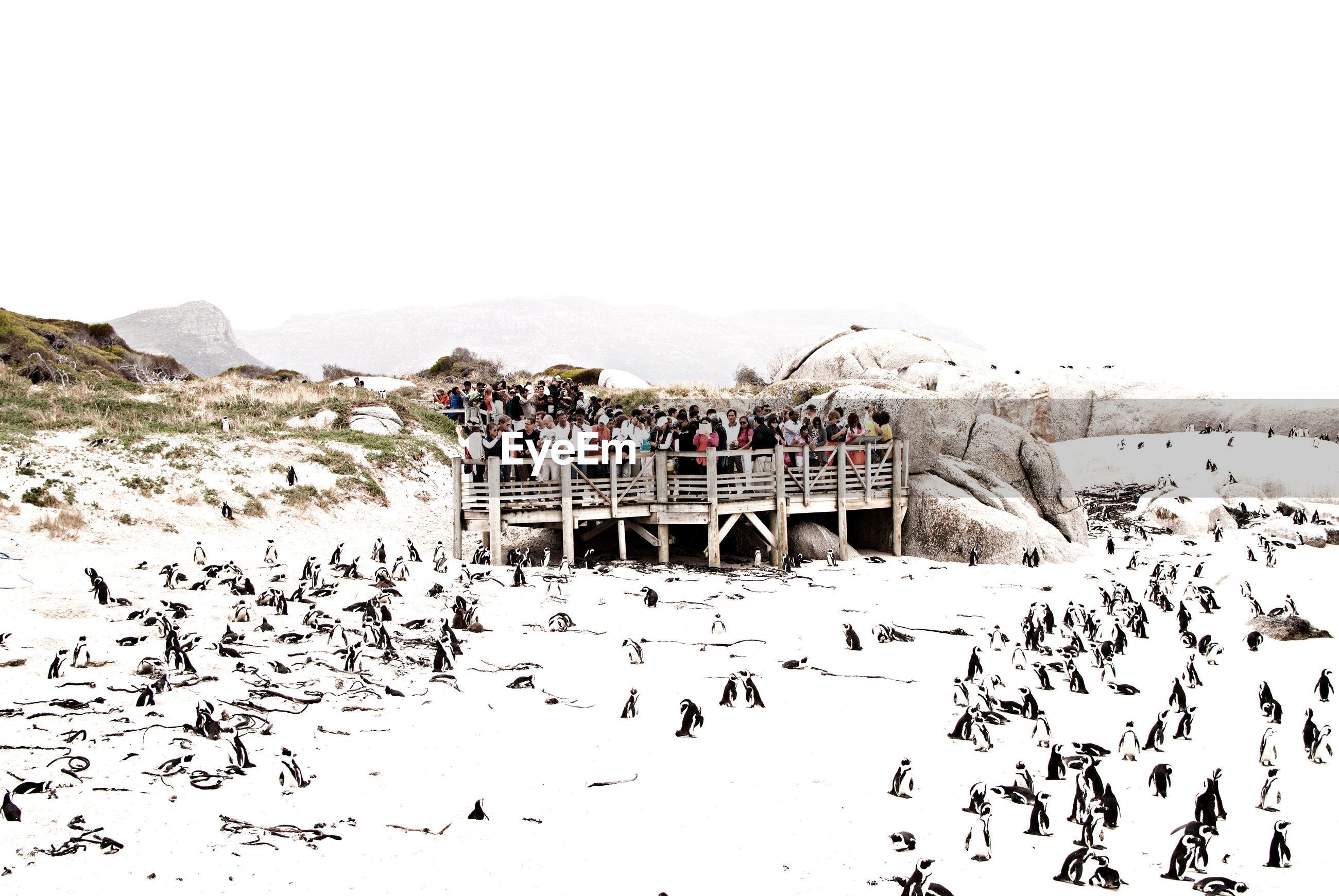 Penguins on snow covered field against clear sky