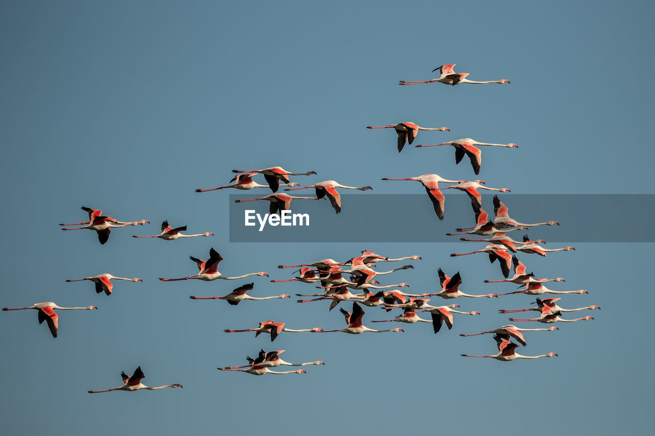 Low angle view of flamingos flying against clear sky