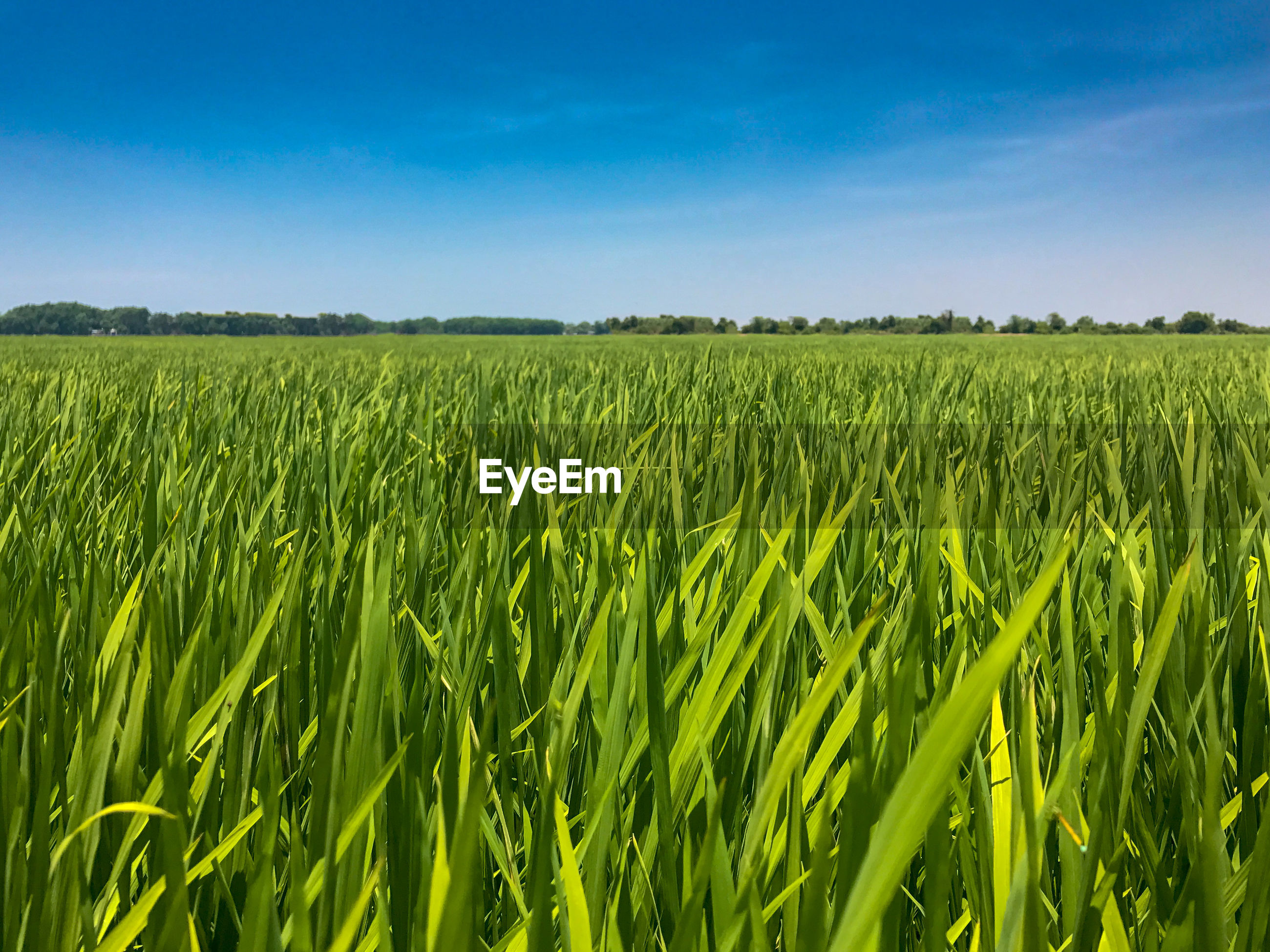 SCENIC VIEW OF CROP FIELD AGAINST BLUE SKY