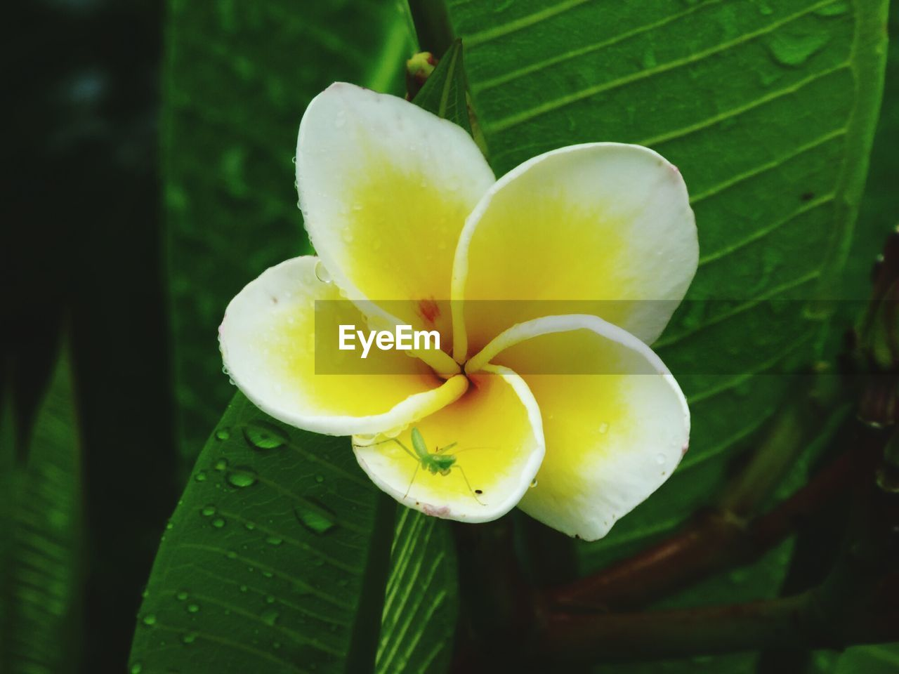 growth, leaf, beauty in nature, nature, flower, petal, plant, yellow, green color, fragility, close-up, freshness, outdoors, day, flower head, no people, frangipani