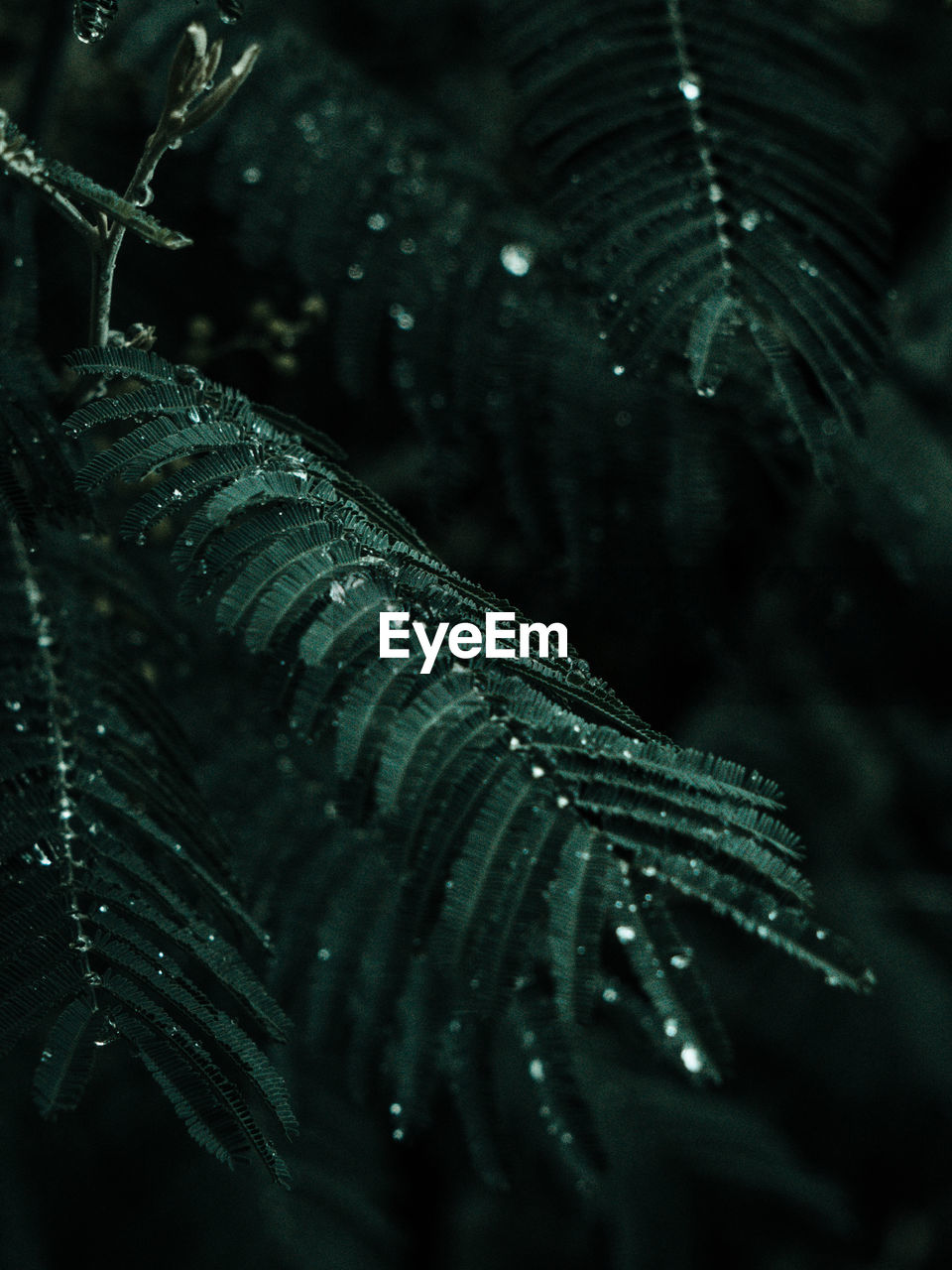close-up, no people, beauty in nature, selective focus, growth, plant, nature, leaf, plant part, drop, focus on foreground, wet, green color, water, outdoors, freshness, fern, natural pattern, rain, raindrop