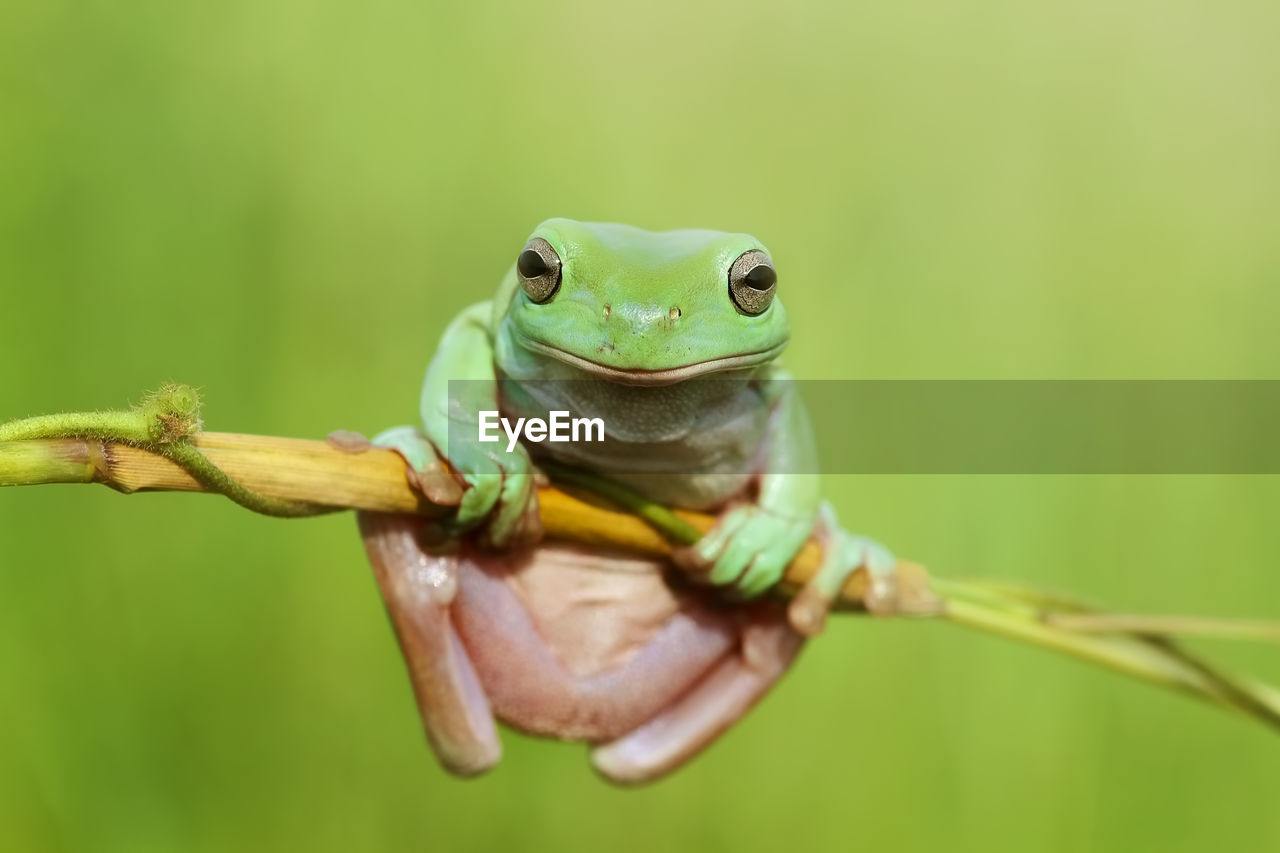 one animal, animal themes, animal, animal wildlife, animals in the wild, close-up, green color, vertebrate, focus on foreground, nature, plant, no people, day, reptile, frog, amphibian, animal body part, outdoors, selective focus, branch, animal head, mouth open, animal eye