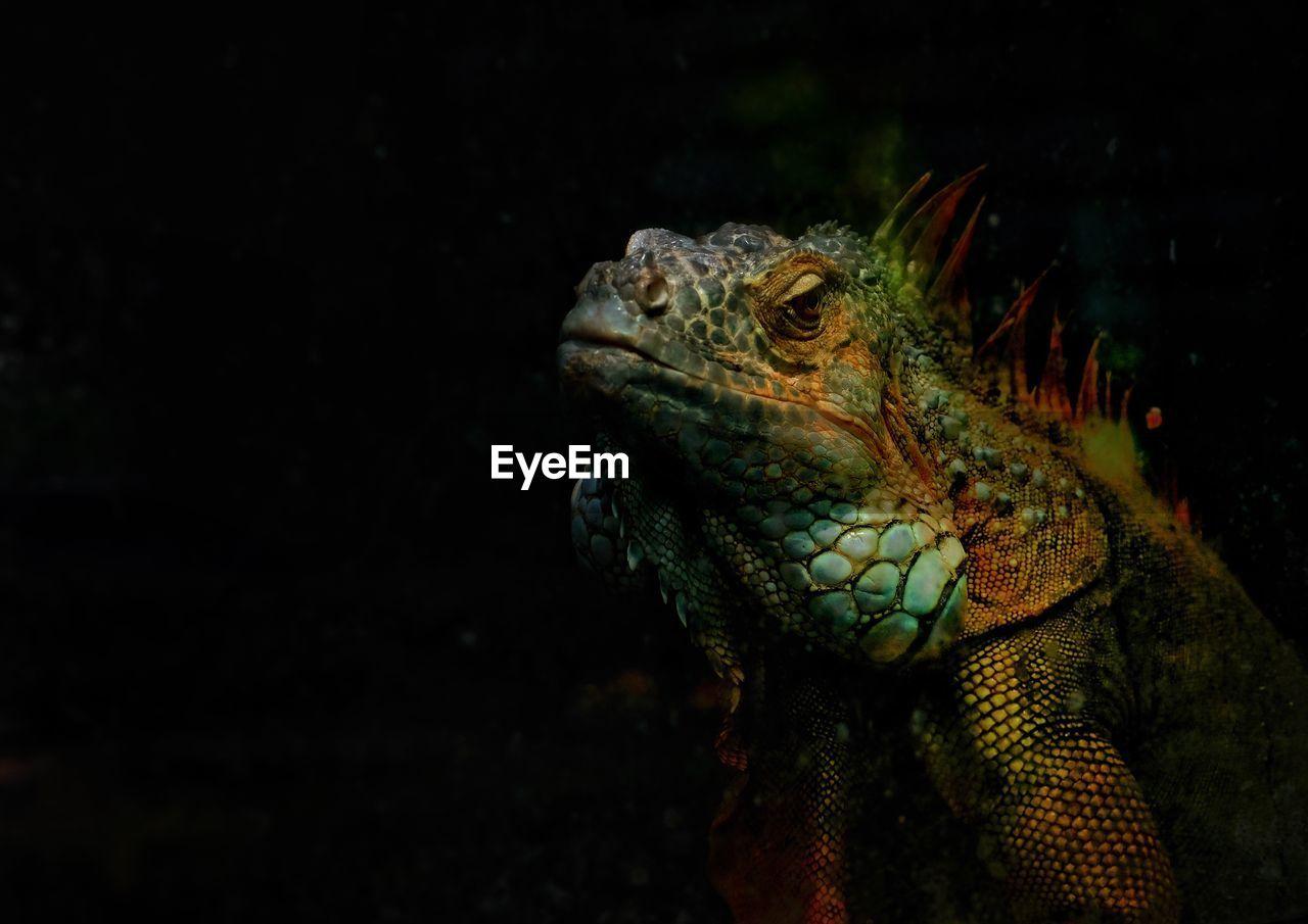 Close-Up Of Iguana Against Black Background