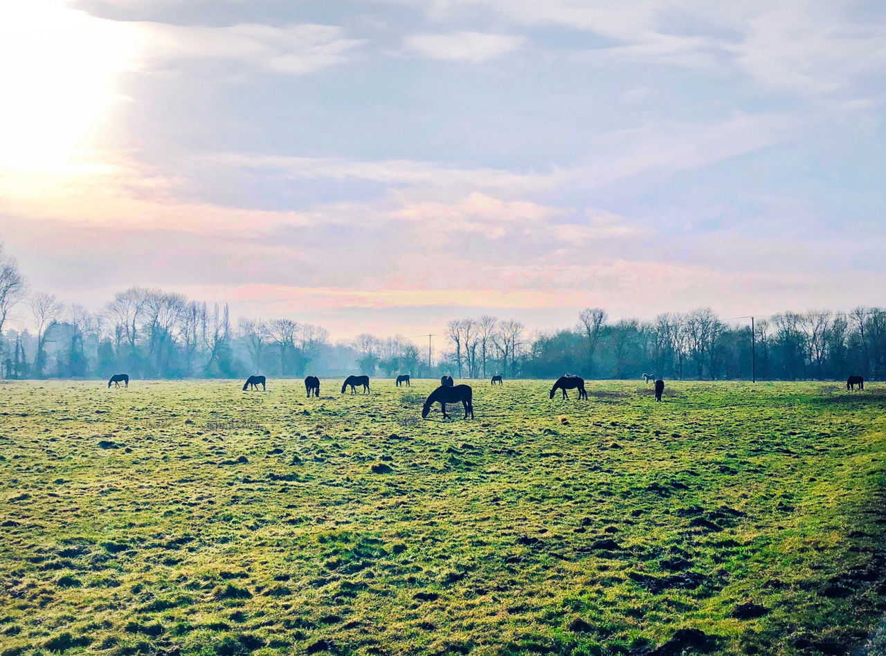 horse, domestic animals, animal themes, mammal, field, nature, livestock, grazing, grass, sky, beauty in nature, landscape, tranquility, scenics, outdoors, day, no people, tree