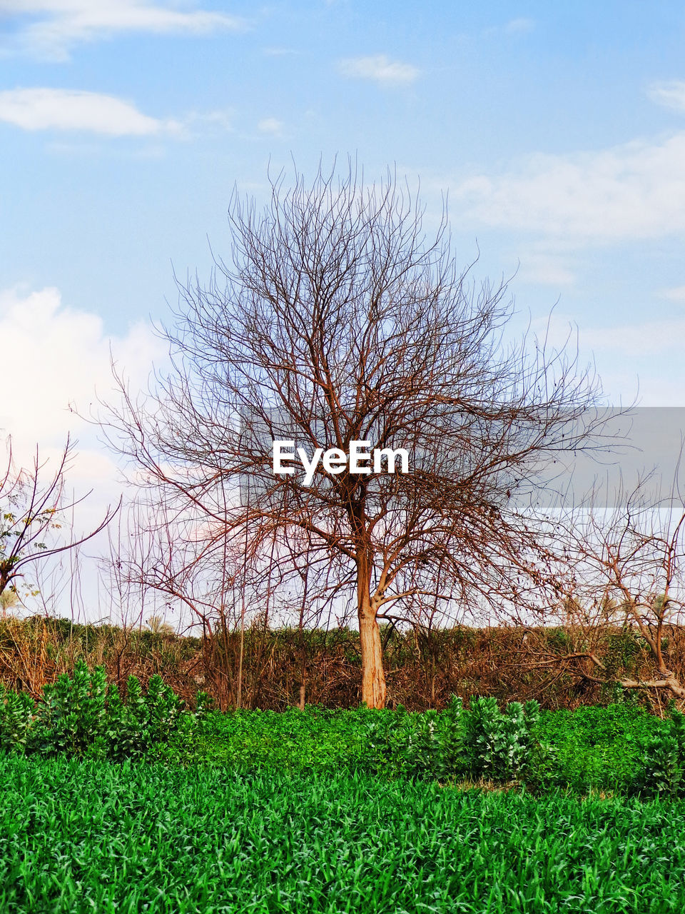 bare tree, tree, beauty in nature, tranquility, field, nature, lone, sky, landscape, tranquil scene, outdoors, day, green color, grass, scenics, branch, no people, growth