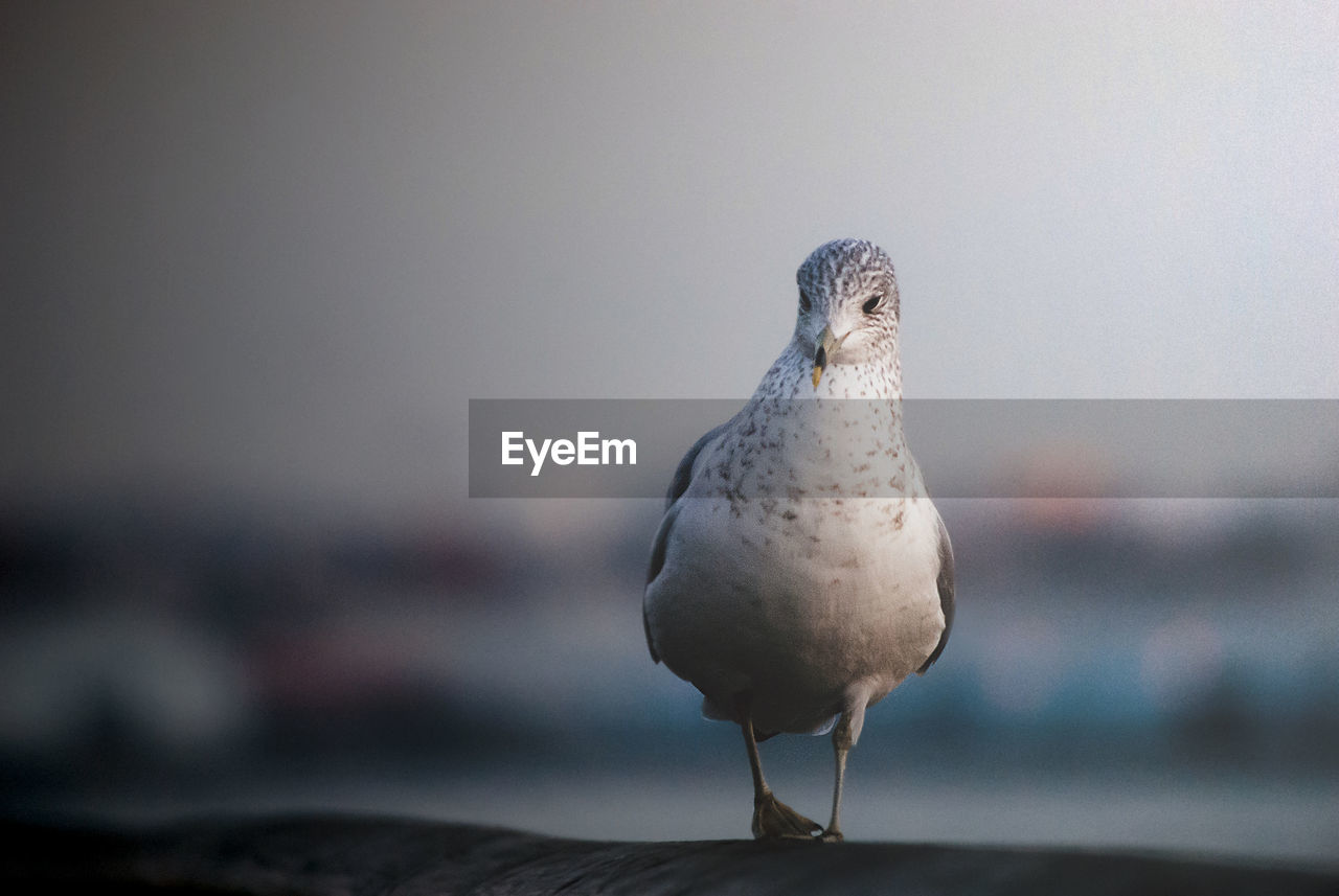 animal themes, animal, bird, vertebrate, one animal, animals in the wild, animal wildlife, focus on foreground, perching, no people, day, close-up, nature, full length, seagull, outdoors, copy space, front view, dove - bird, looking away