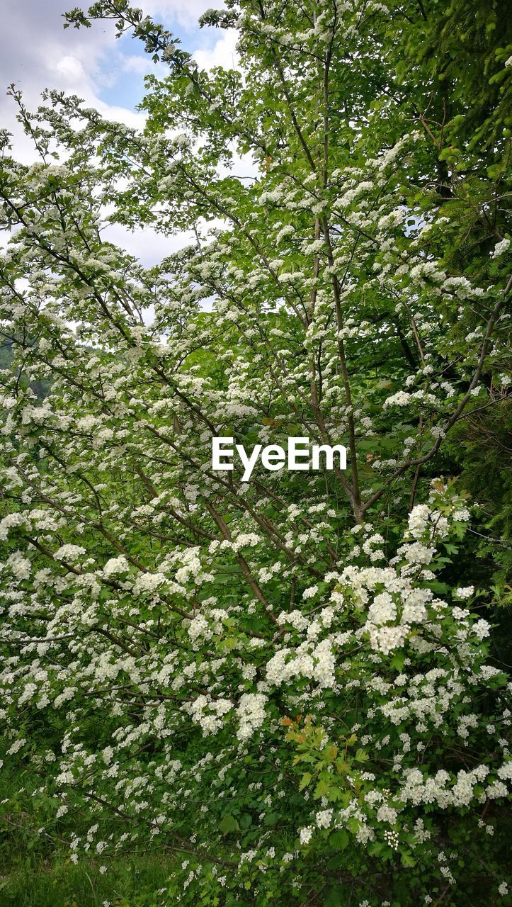 plant, tree, beauty in nature, growth, flower, flowering plant, nature, low angle view, day, no people, green color, land, outdoors, tranquility, freshness, branch, white color, fragility, full frame, blossom, springtime