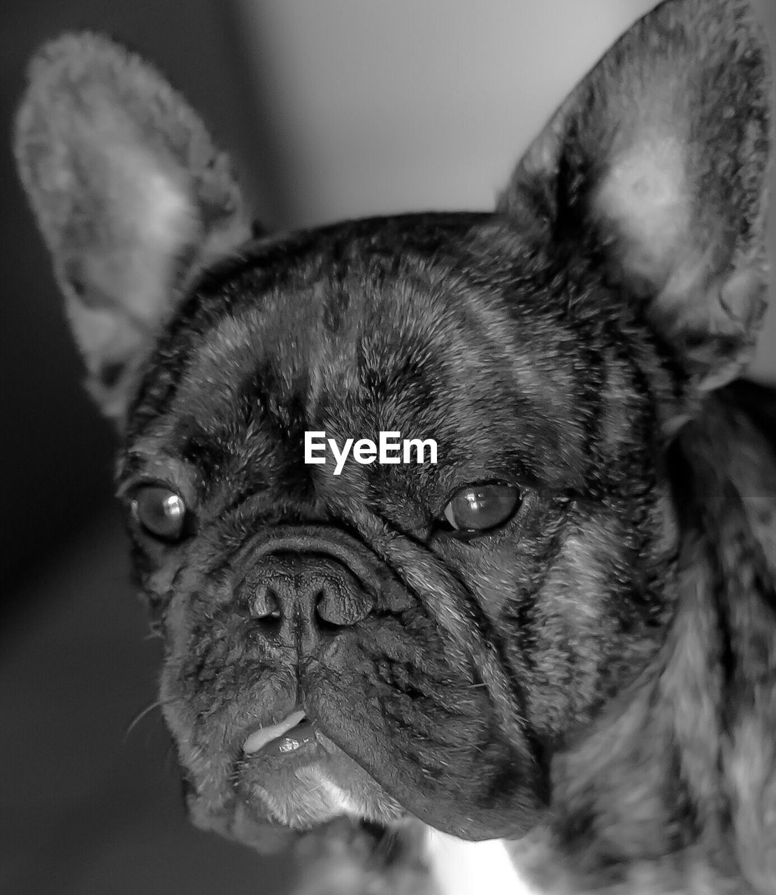 one animal, animal themes, mammal, domestic, pets, animal, domestic animals, vertebrate, canine, dog, close-up, indoors, portrait, focus on foreground, looking at camera, animal body part, no people, animal head, pug, lap dog, small, whisker, animal eye