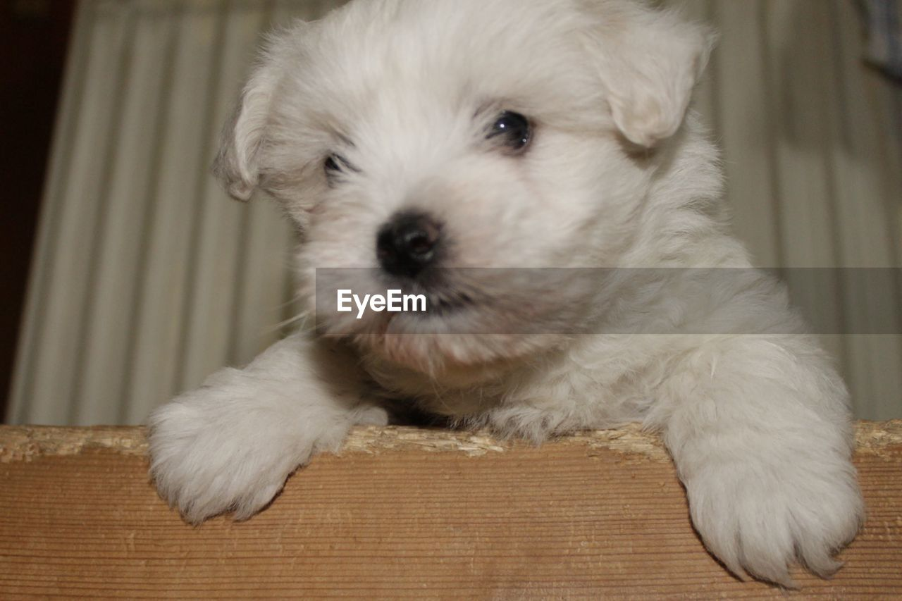 pets, one animal, domestic animals, dog, animal themes, mammal, indoors, cute, looking at camera, close-up, puppy, portrait, no people, day