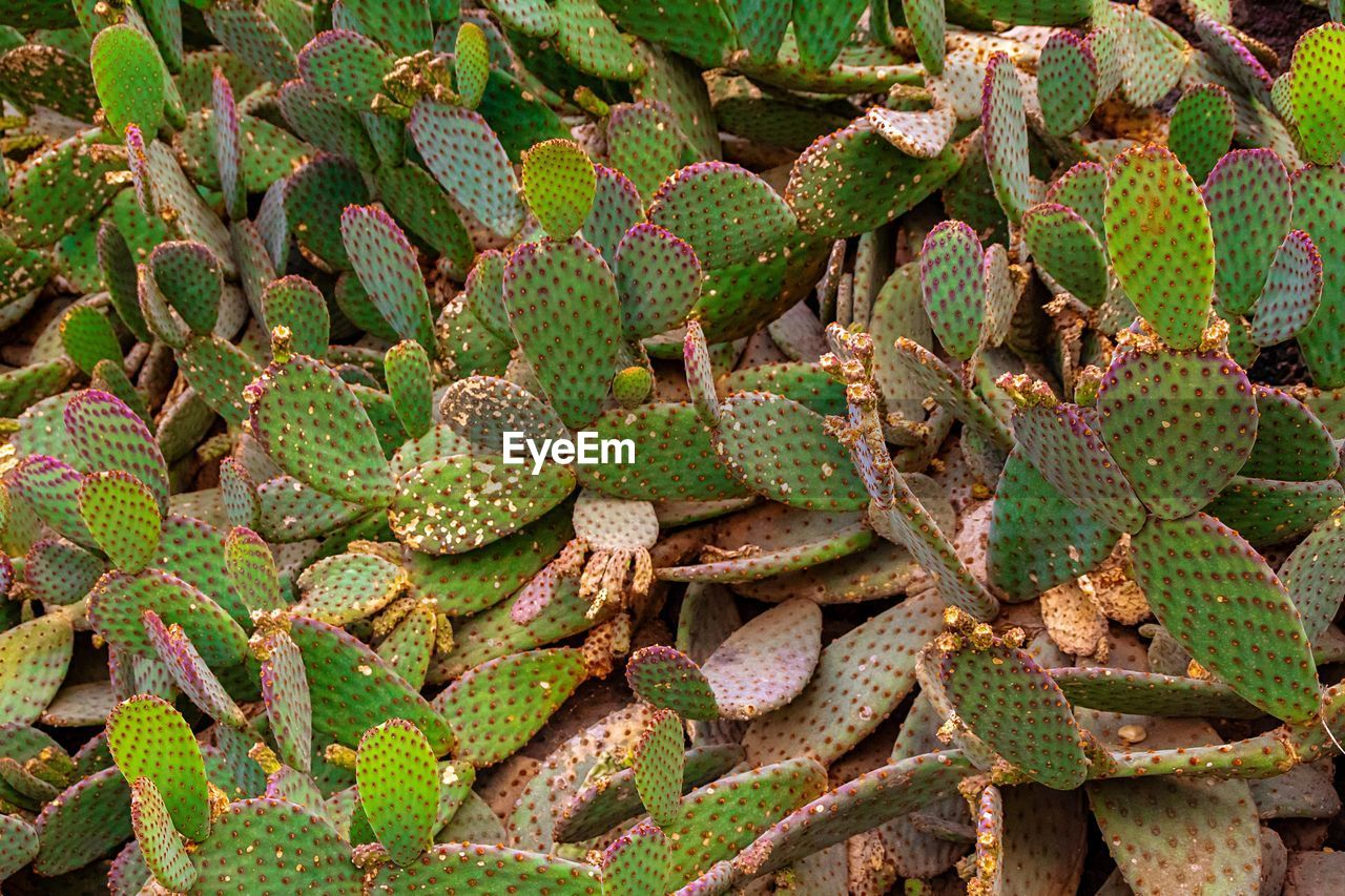 plant, green color, full frame, nature, no people, food and drink, food, backgrounds, day, close-up, growth, abundance, succulent plant, healthy eating, high angle view, thorn, cactus, beauty in nature, outdoors, leaf, arid climate
