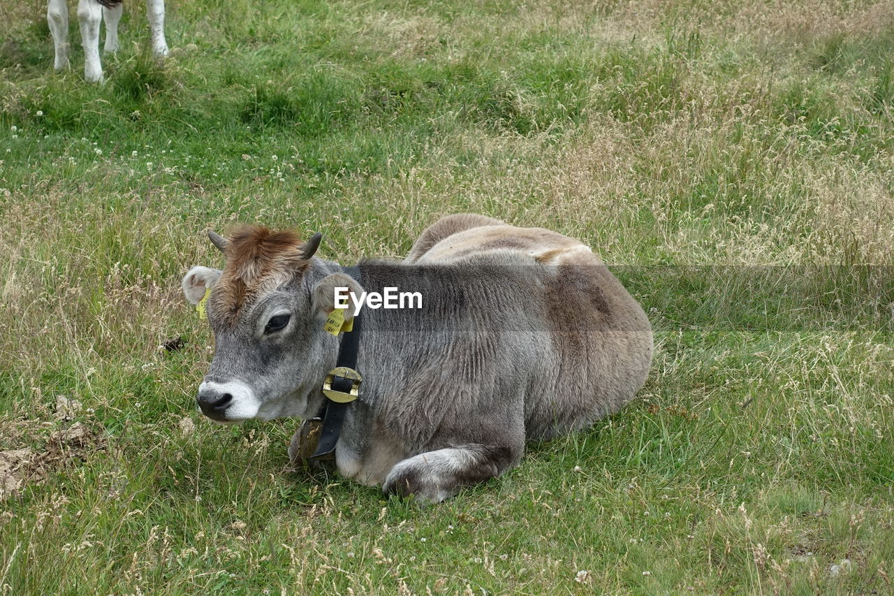 grass, mammal, animal themes, animal, plant, domestic, domestic animals, pets, field, vertebrate, one animal, livestock, cattle, land, cow, domestic cattle, nature, no people, day, green color, herbivorous, outdoors