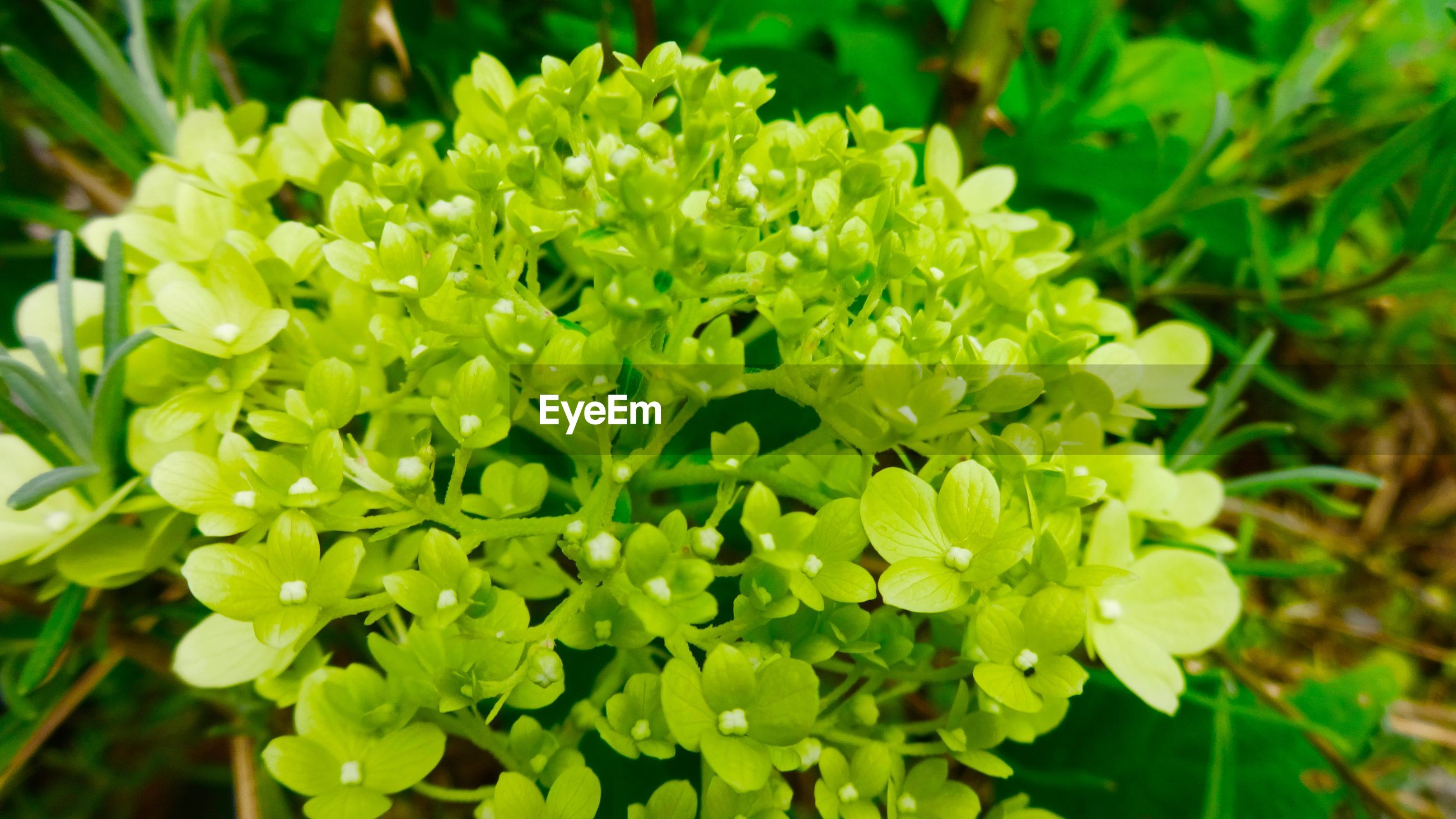 Close-up of green hydrangeas blooming outdoors
