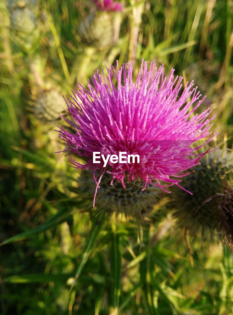 flower, nature, purple, growth, beauty in nature, plant, focus on foreground, fragility, thistle, no people, day, field, close-up, outdoors, freshness, flower head, blooming
