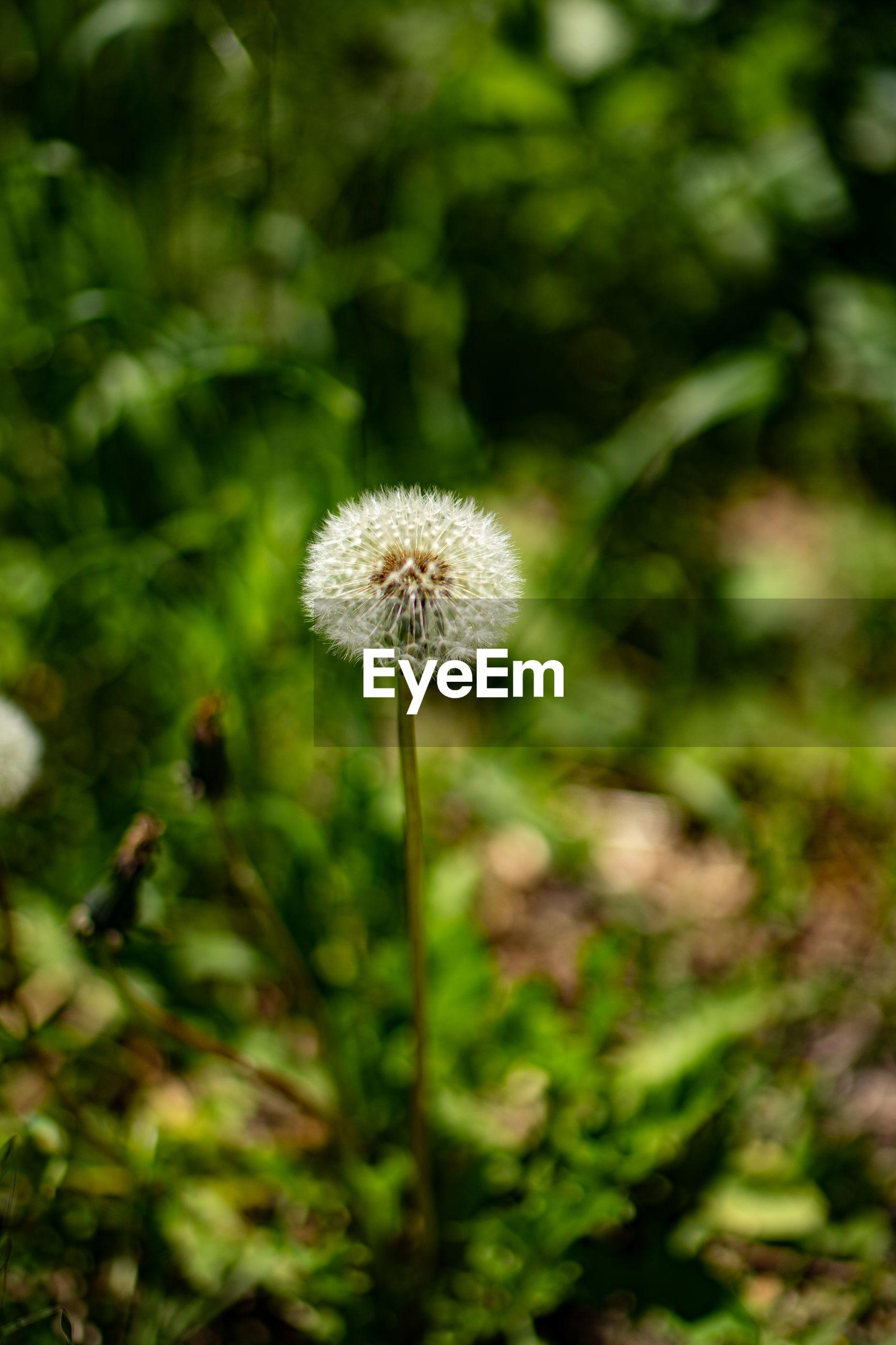 CLOSE-UP OF DANDELION FLOWER GROWING IN FIELD