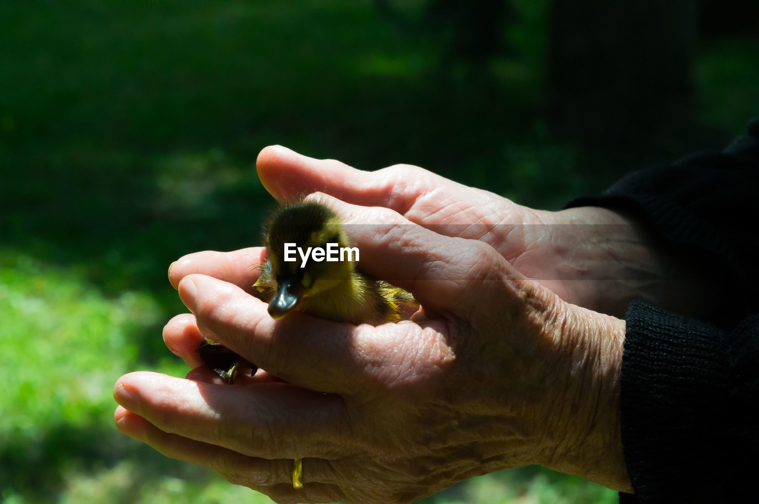 Cropped image of hands holding duckling at field