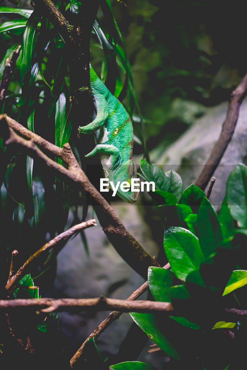 green color, plant, animal themes, plant part, one animal, animal wildlife, animal, nature, leaf, reptile, tree, no people, animals in the wild, vertebrate, close-up, day, growth, branch, focus on foreground, outdoors