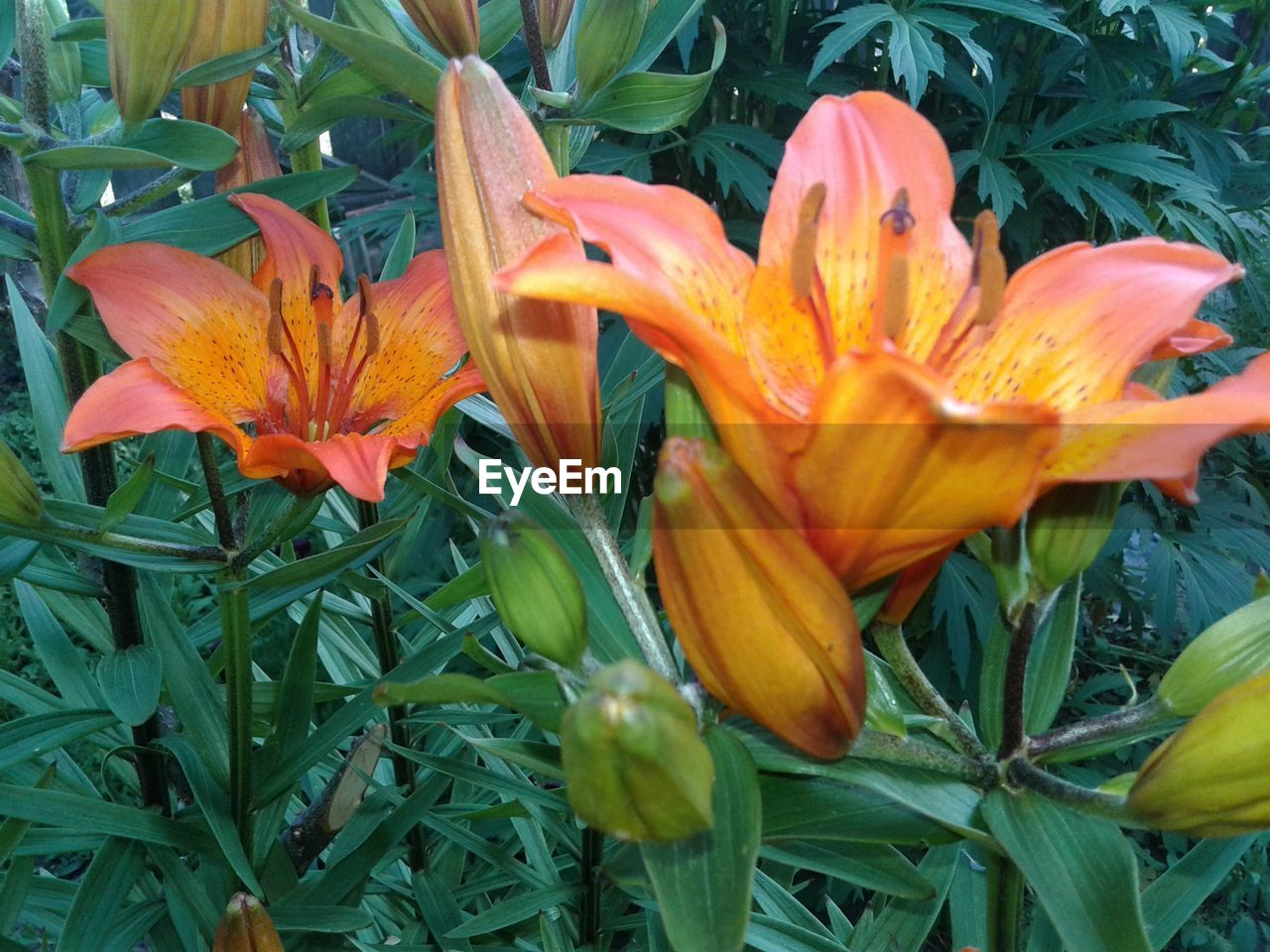 flower, petal, growth, freshness, beauty in nature, orange color, flower head, fragility, nature, day lily, blooming, plant, day, outdoors, no people, lily, close-up, leaf, springtime