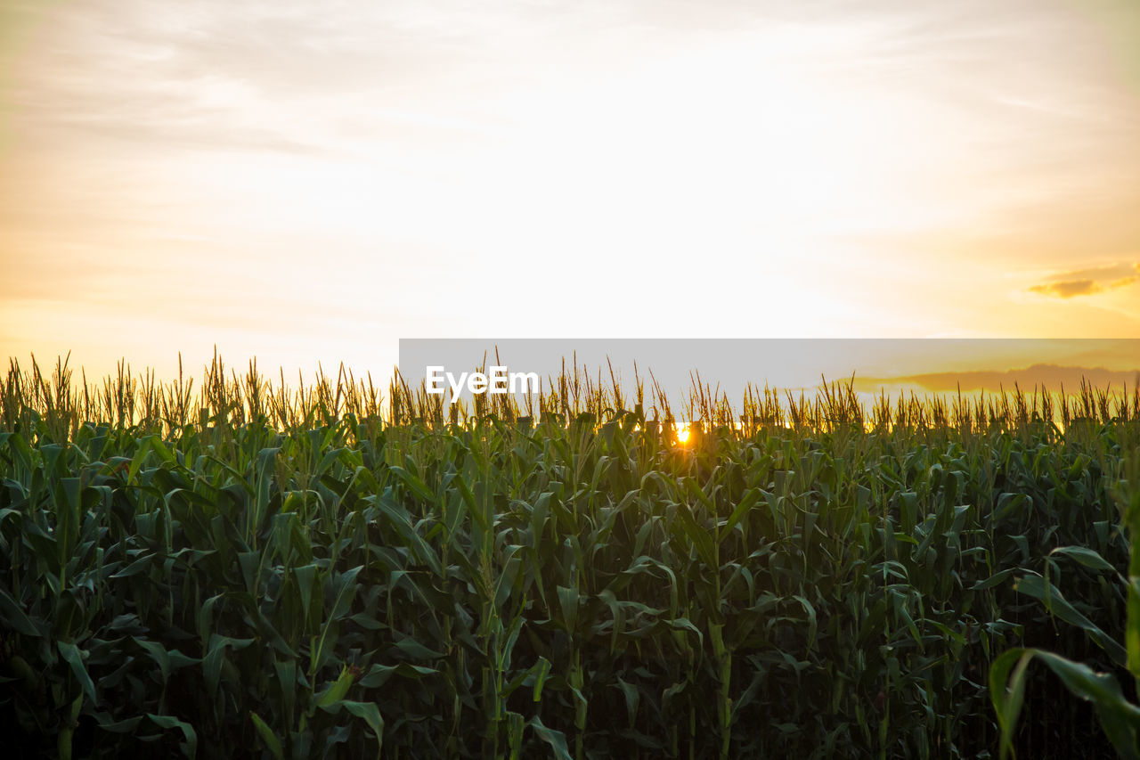 field, growth, cereal plant, agriculture, farm, crop, rural scene, nature, sky, sunset, beauty in nature, tranquility, wheat, landscape, plant, no people, outdoors, day