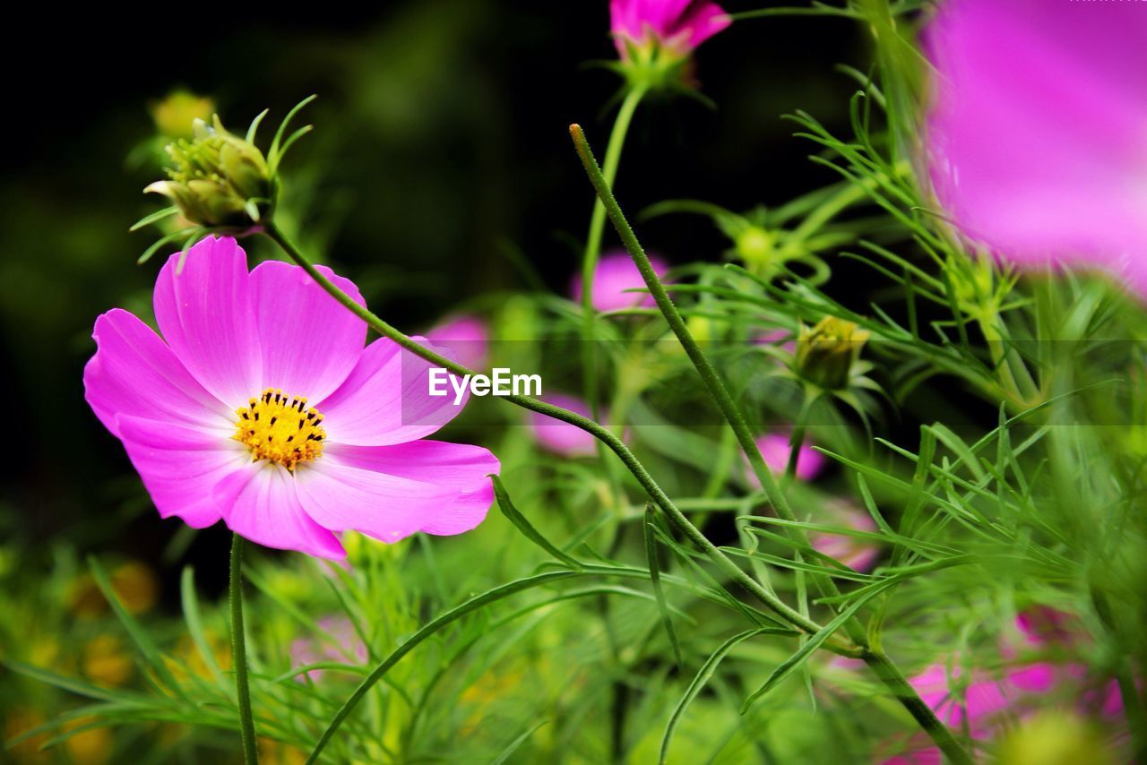 flower, petal, fragility, flower head, growth, nature, beauty in nature, freshness, pink color, plant, no people, cosmos flower, yellow, selective focus, close-up, blooming, outdoors, day, grass, animal themes