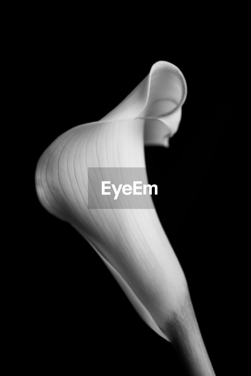 black background, studio shot, close-up, indoors, calla lily, freshness, flower, inflorescence, petal, plant, beauty in nature, flowering plant, fragility, flower head, vulnerability, no people, nature, white color, growth