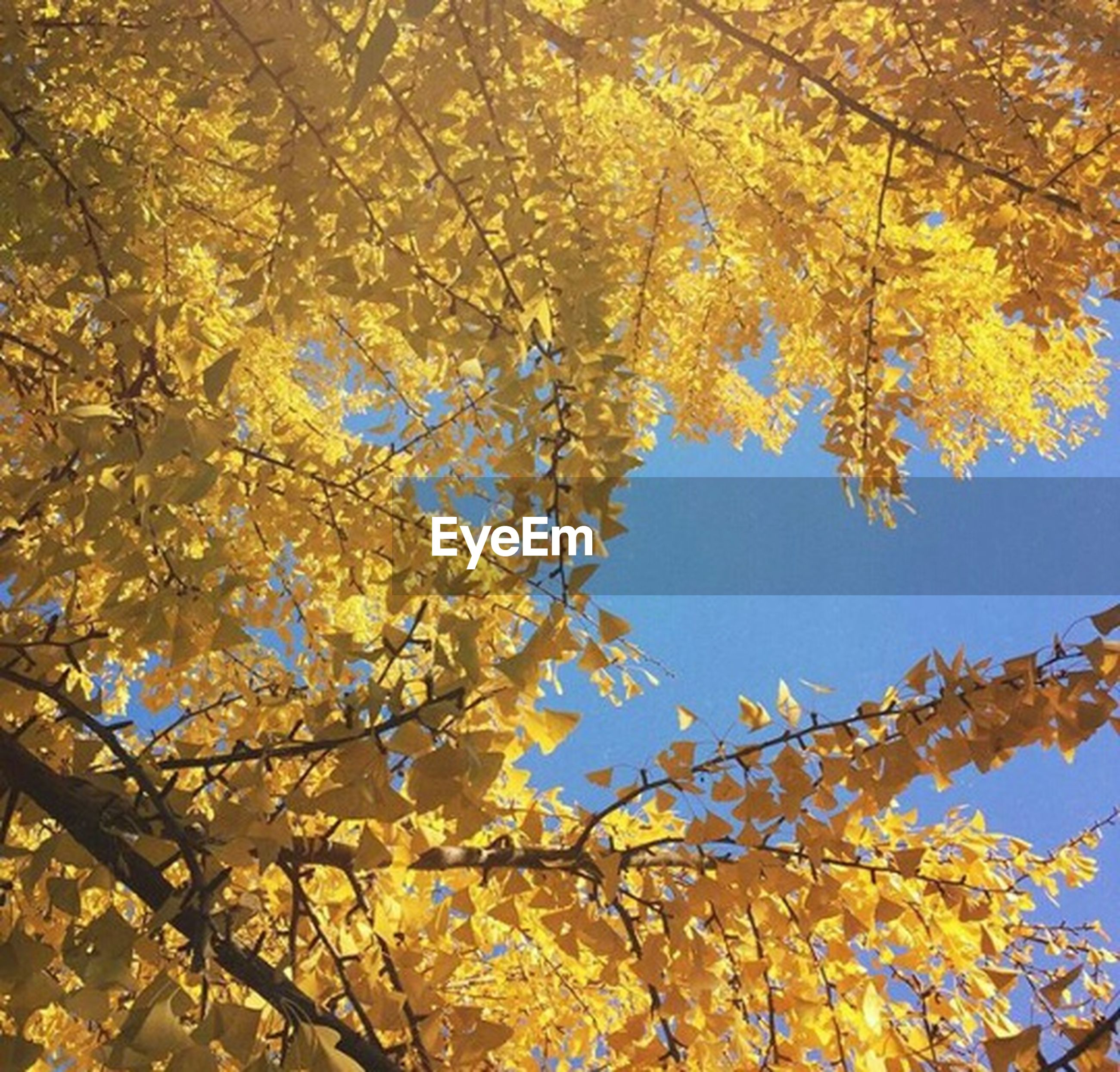 low angle view, tree, branch, autumn, change, growth, nature, beauty in nature, clear sky, sky, season, leaf, yellow, tranquility, directly below, outdoors, no people, day, high section, orange color