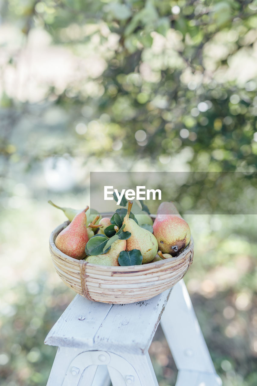 Food Food And Drink Healthy Eating Fruit Focus On Foreground Freshness Wellbeing Day Basket Container Nature Close-up No People Plant Agriculture Outdoors Harvesting Table Sunlight Ripe Pear Pear Tree  Harvesting The Land High Size