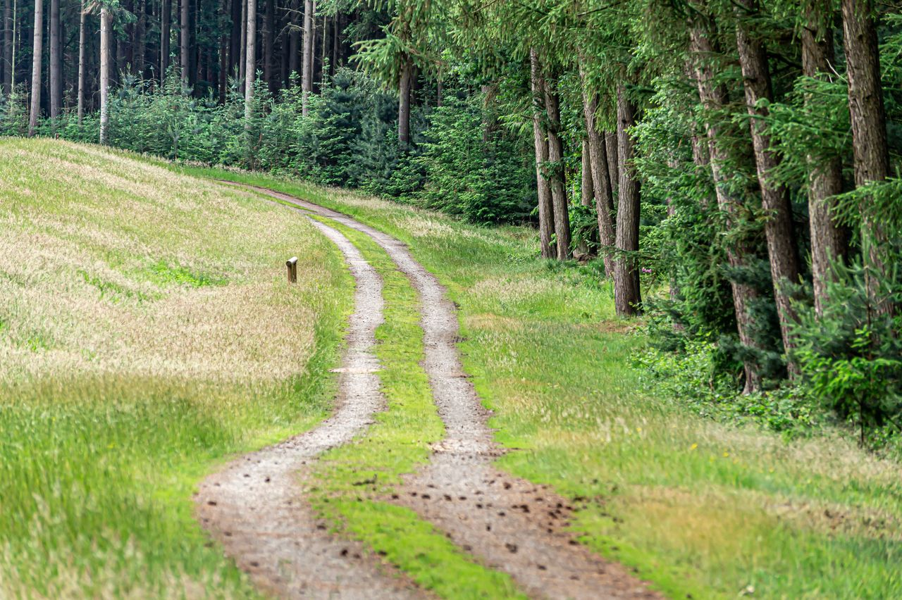 plant, tree, land, forest, road, nature, landscape, grass, animal themes, scenics - nature, one animal, green color, animal, day, footpath, transportation, direction, environment, non-urban scene, animal wildlife, no people, pine tree, woodland, outdoors, pine woodland, coniferous tree