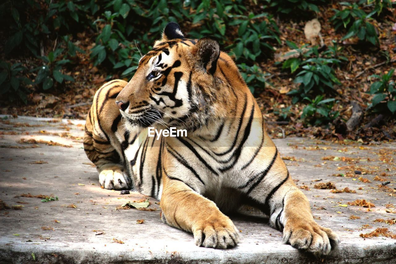 animal themes, animal, feline, mammal, animal wildlife, cat, animals in the wild, big cat, tiger, vertebrate, nature, carnivora, day, relaxation, no people, one animal, endangered species, land, outdoors, zoo, whisker, undomesticated cat