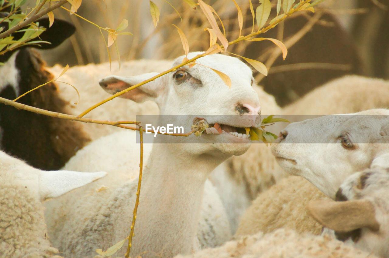 Goats feeding on plant