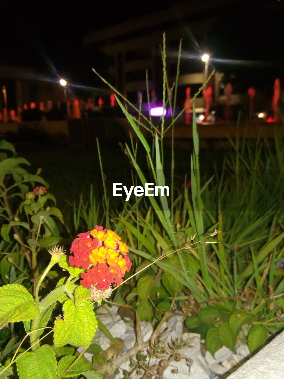 night, focus on foreground, growth, nature, no people, outdoors, freshness, leaf, plant, close-up, red, flower, beauty in nature, fragility