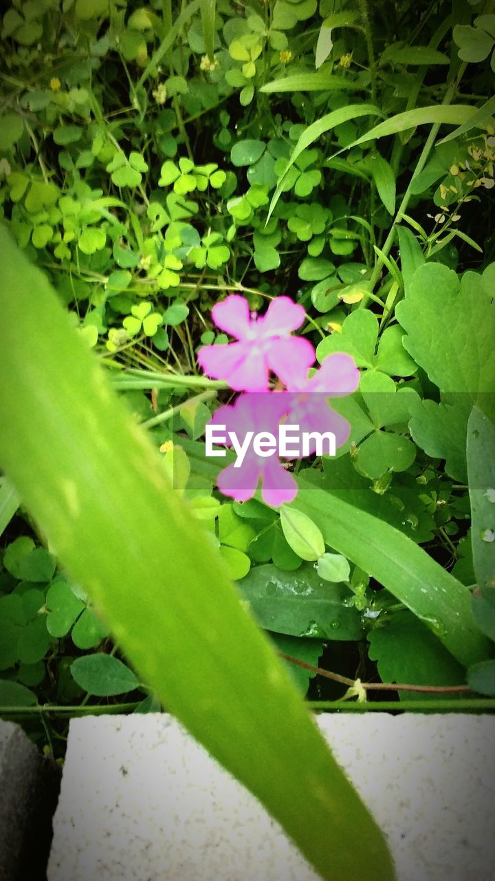 flower, green color, plant, growth, leaf, nature, fragility, beauty in nature, freshness, outdoors, high angle view, petal, day, no people, close-up, flower head, blooming, periwinkle
