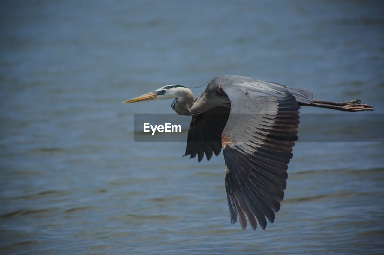 bird, animal, animals in the wild, animal themes, vertebrate, animal wildlife, flying, spread wings, one animal, water, no people, lake, focus on foreground, mid-air, waterfront, nature, day, motion, water bird, freshwater bird