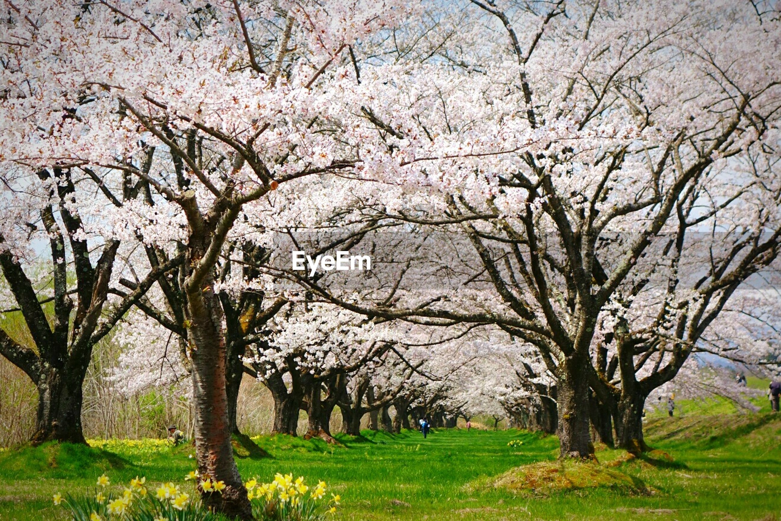 tree, branch, grass, flower, growth, tree trunk, bare tree, nature, beauty in nature, park - man made space, tranquility, tranquil scene, field, green color, scenics, park, blossom, day, freshness, landscape