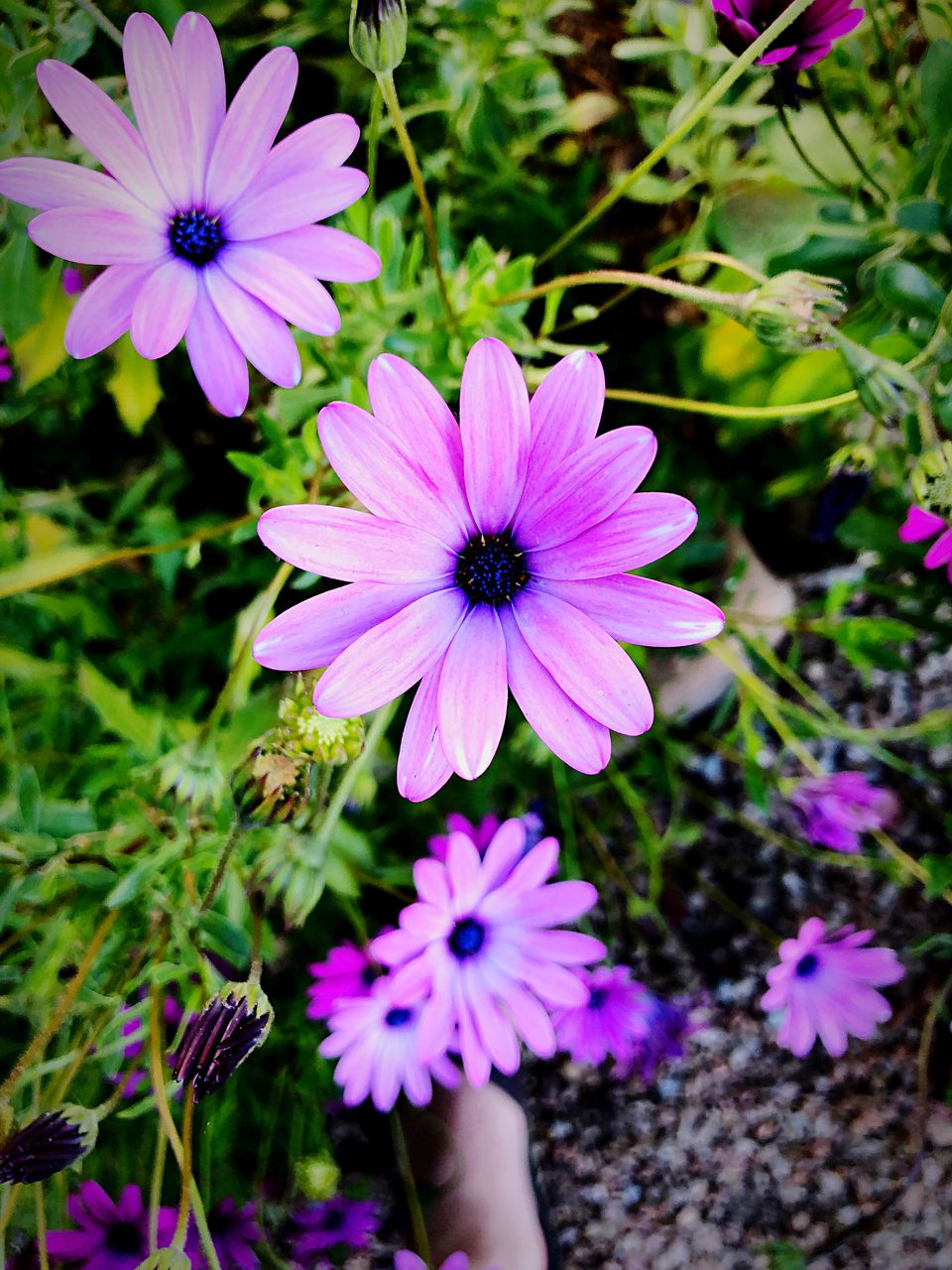 flowering plant, flower, freshness, plant, vulnerability, fragility, petal, flower head, beauty in nature, inflorescence, growth, osteospermum, close-up, purple, nature, day, pollen, pink color, focus on foreground, high angle view, human limb, finger