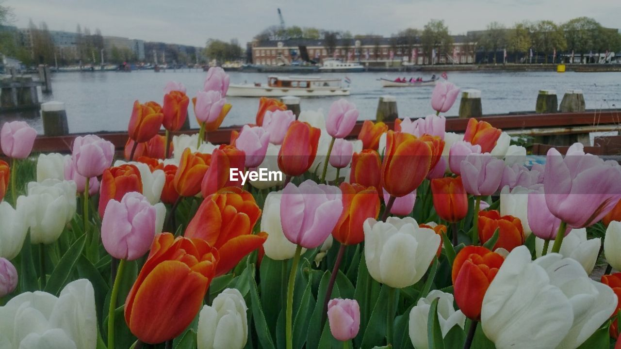 flower, flowering plant, plant, freshness, beauty in nature, fragility, vulnerability, petal, water, nature, close-up, flower head, growth, inflorescence, tulip, day, no people, lake, outdoors, flowerbed