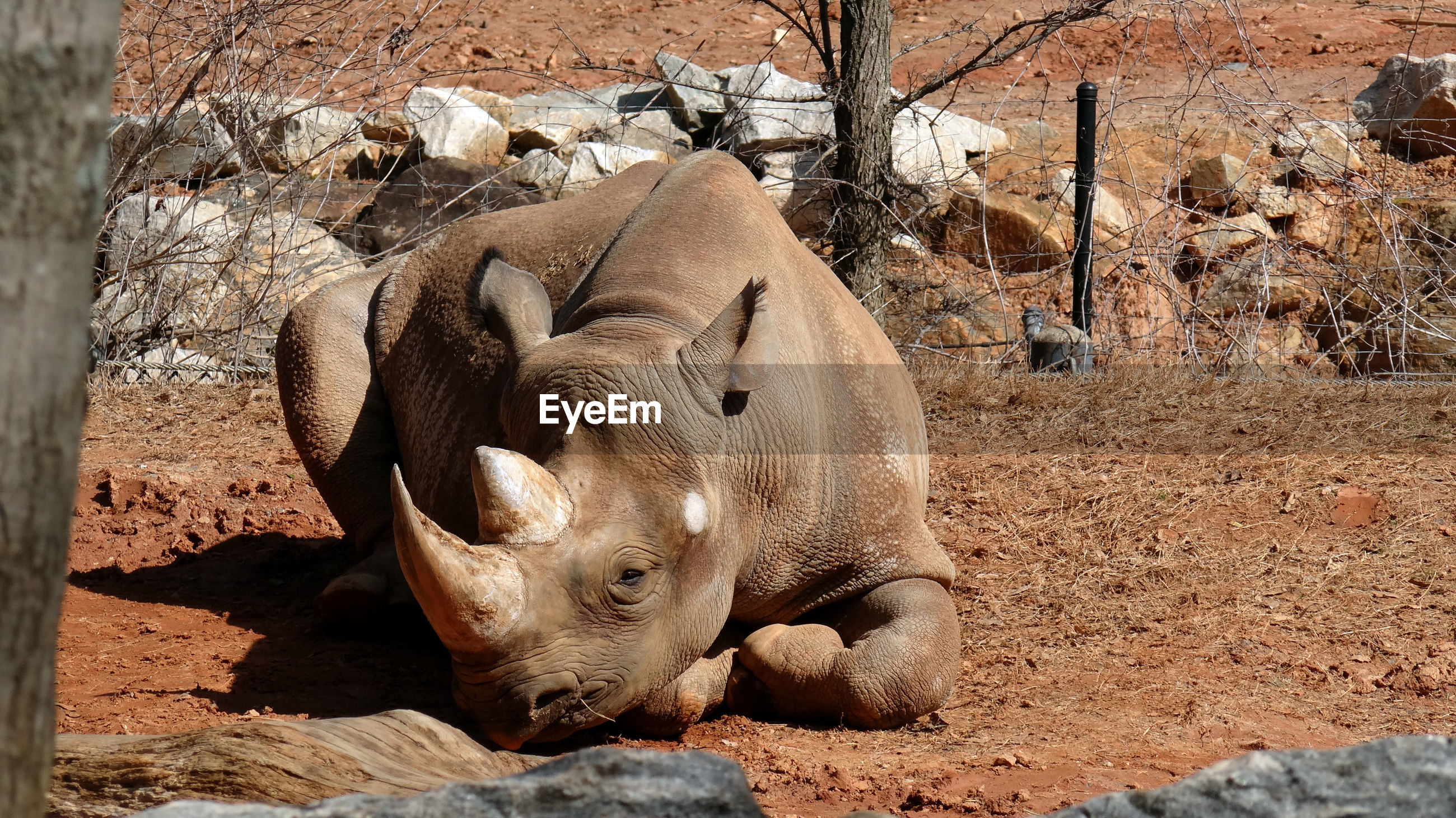 Rhinoceros resting on field by fence at zoo