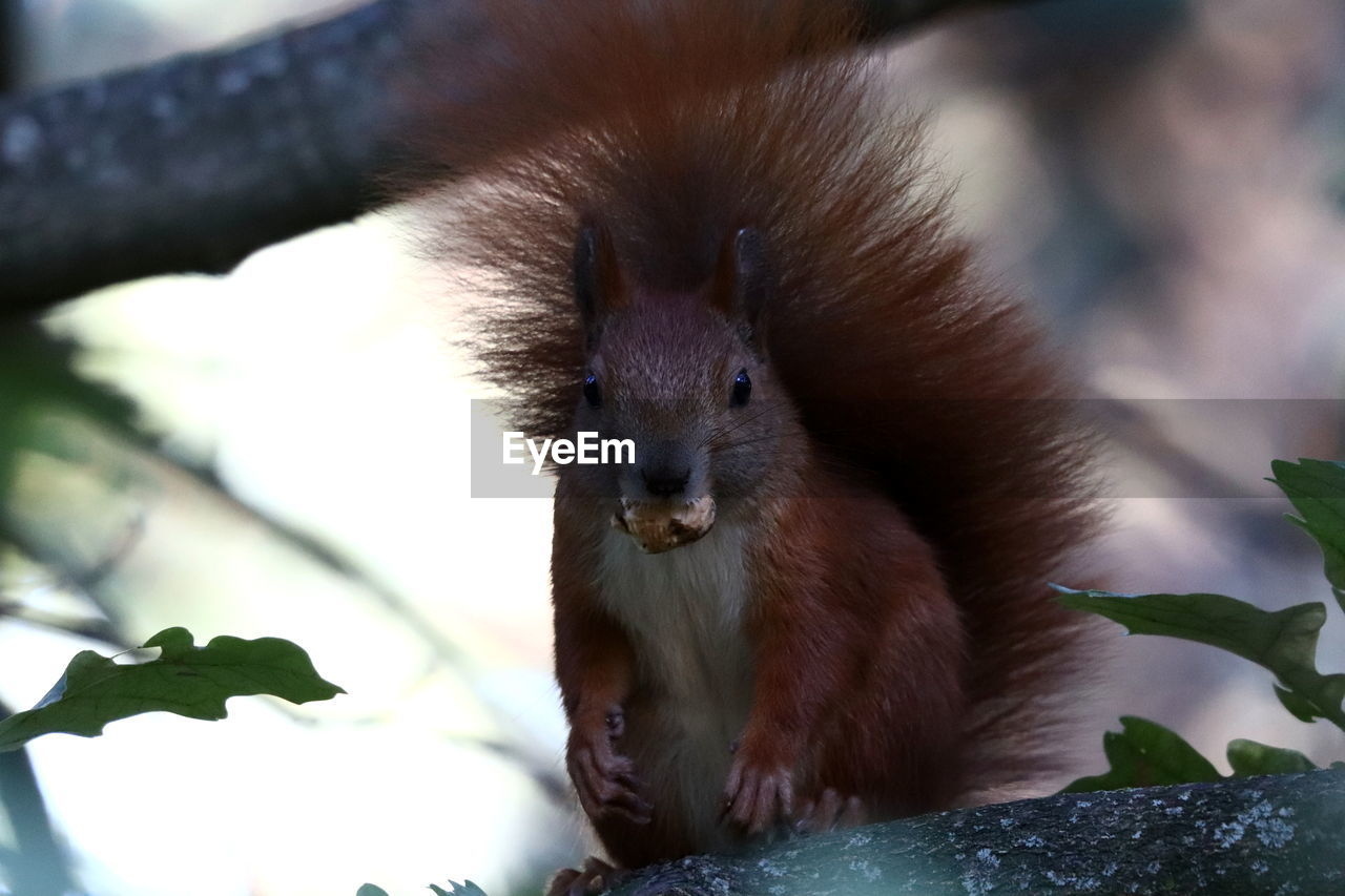 animal themes, animal, animal wildlife, one animal, vertebrate, mammal, animals in the wild, no people, rodent, close-up, nature, focus on foreground, day, squirrel, plant part, looking at camera, tree, branch, leaf, portrait, outdoors, animal head, whisker