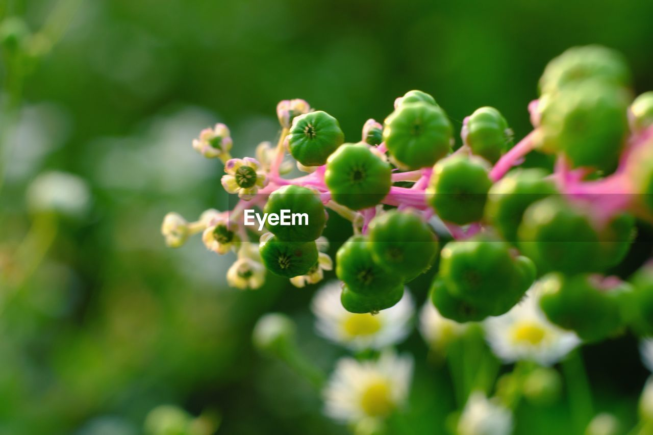 growth, green color, plant, close-up, freshness, selective focus, beauty in nature, day, no people, nature, food and drink, healthy eating, fruit, food, flower, bud, fragility, flowering plant, outdoors, focus on foreground