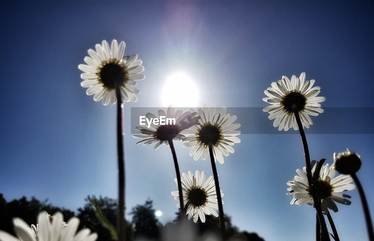 flowering plant, flower, plant, freshness, sky, beauty in nature, fragility, vulnerability, flower head, petal, low angle view, growth, inflorescence, nature, close-up, plant stem, sunlight, clear sky, day, no people, outdoors, pollen, sepal