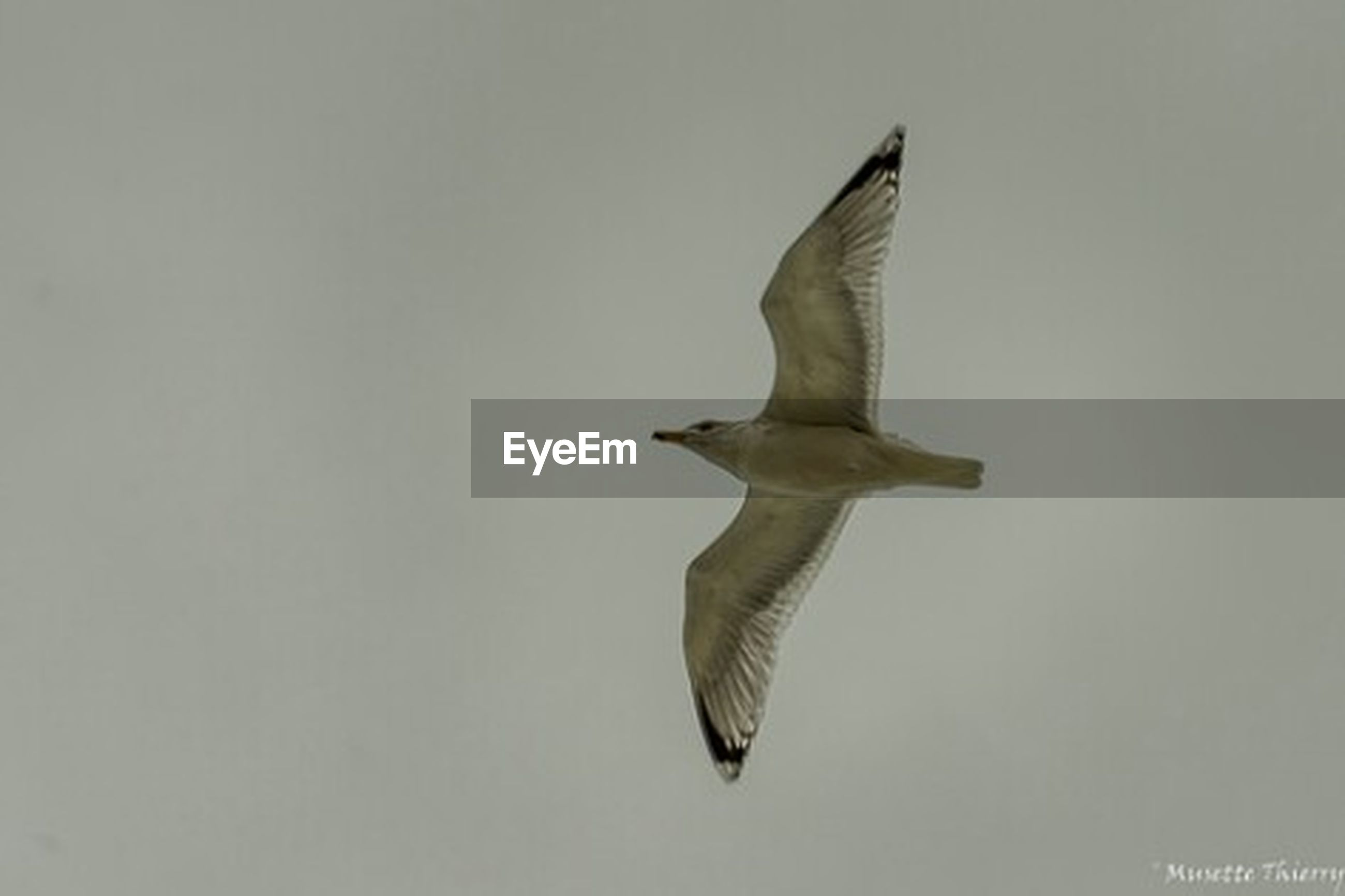 bird, animal themes, flying, animals in the wild, one animal, spread wings, wildlife, clear sky, copy space, seagull, mid-air, low angle view, nature, full length, motion, flight, day, zoology, no people, outdoors