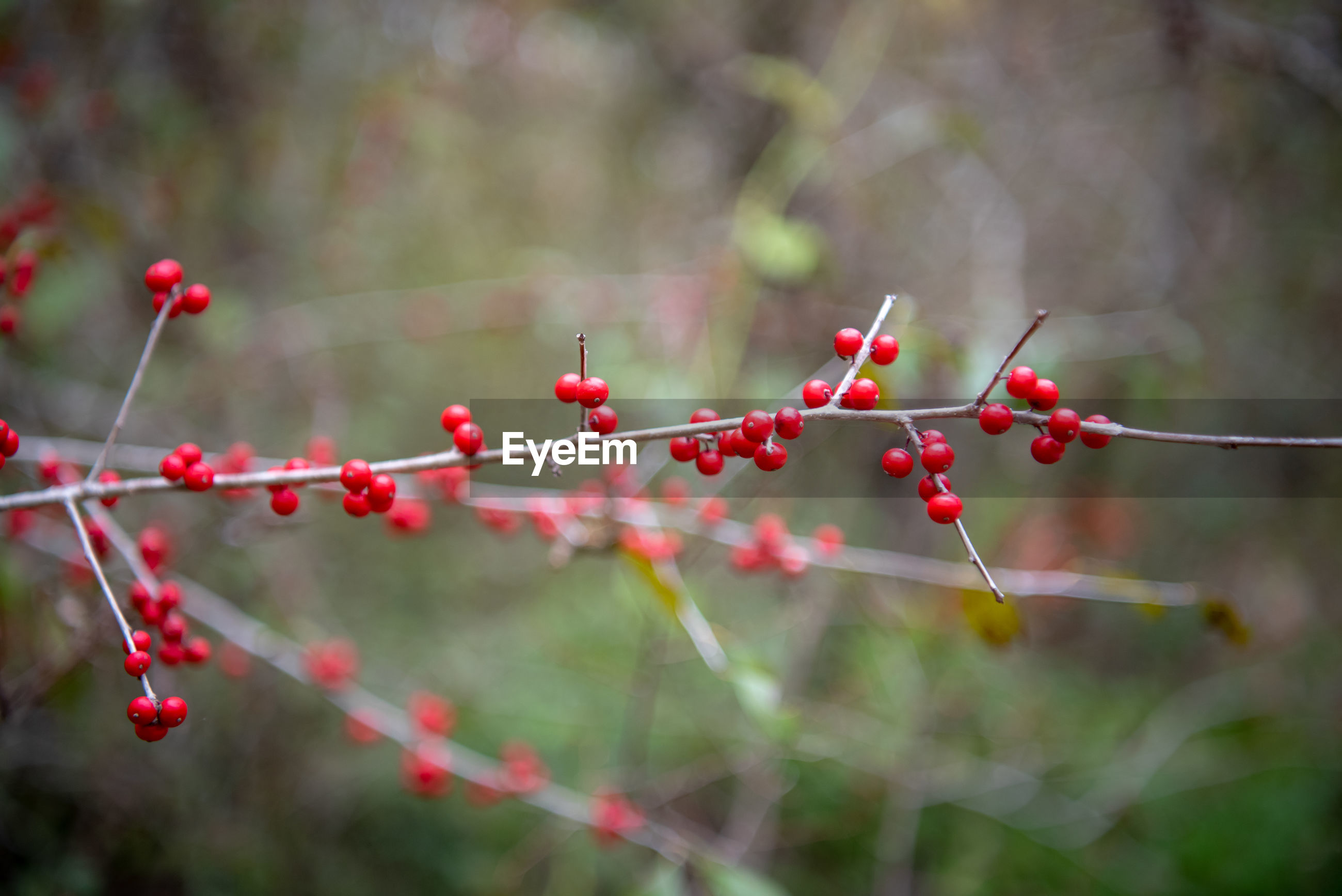 CLOSE-UP OF RED BERRIES HANGING ON TREE