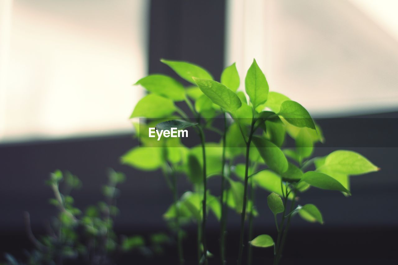 leaf, plant, green color, growth, nature, close-up, focus on foreground, freshness, fragility, no people, beauty in nature, new life, basil, indoors, day, periwinkle