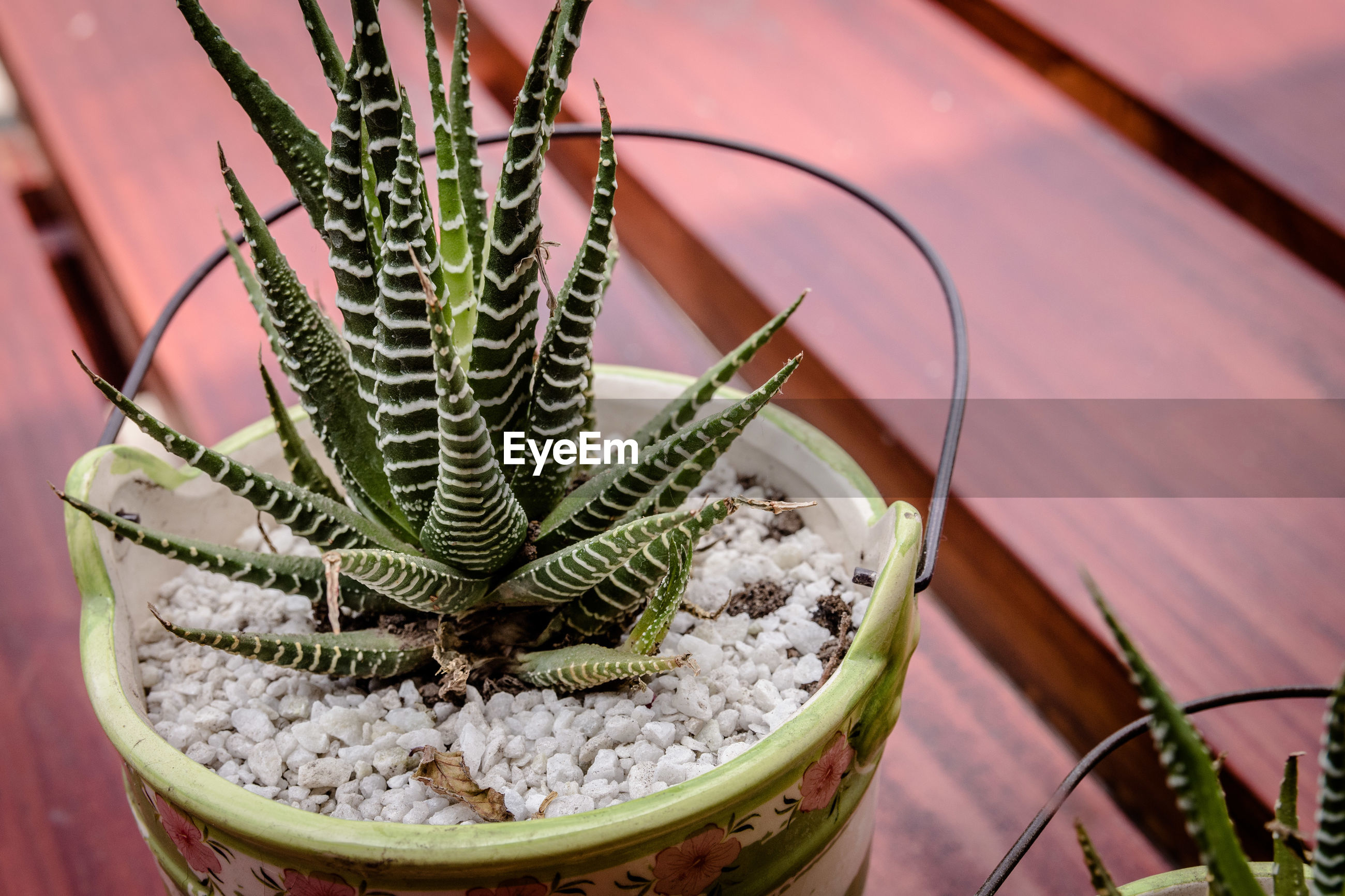 High angle view of potted cactus plant