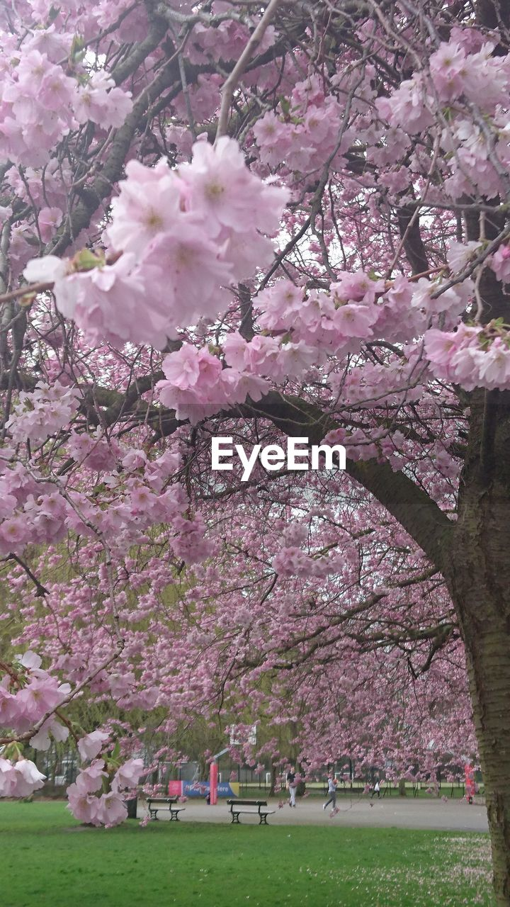 plant, flowering plant, pink color, flower, tree, beauty in nature, growth, fragility, blossom, freshness, nature, cherry blossom, vulnerability, branch, springtime, park, cherry tree, day, park - man made space, no people, outdoors, spring