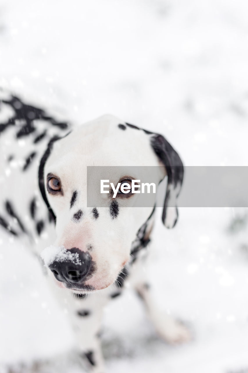dog, canine, mammal, pets, one animal, domestic, animal themes, domestic animals, snow, animal, cold temperature, winter, focus on foreground, vertebrate, nature, no people, day, close-up, white color, animal head, snowcapped mountain